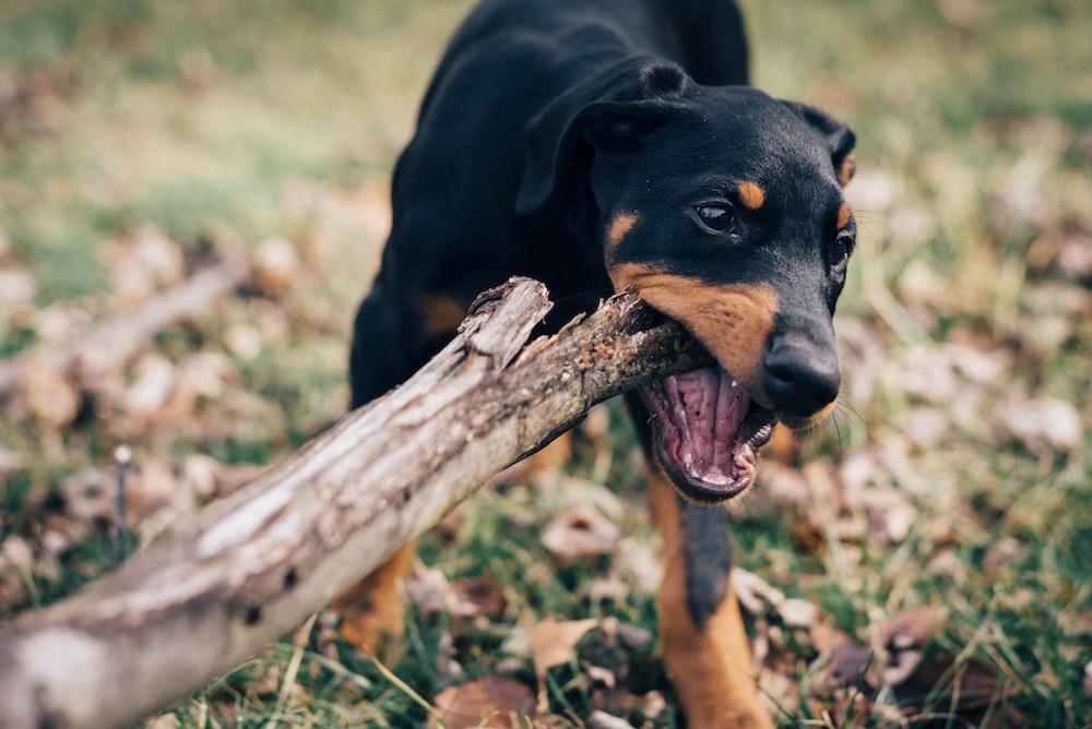 dog eating wood log