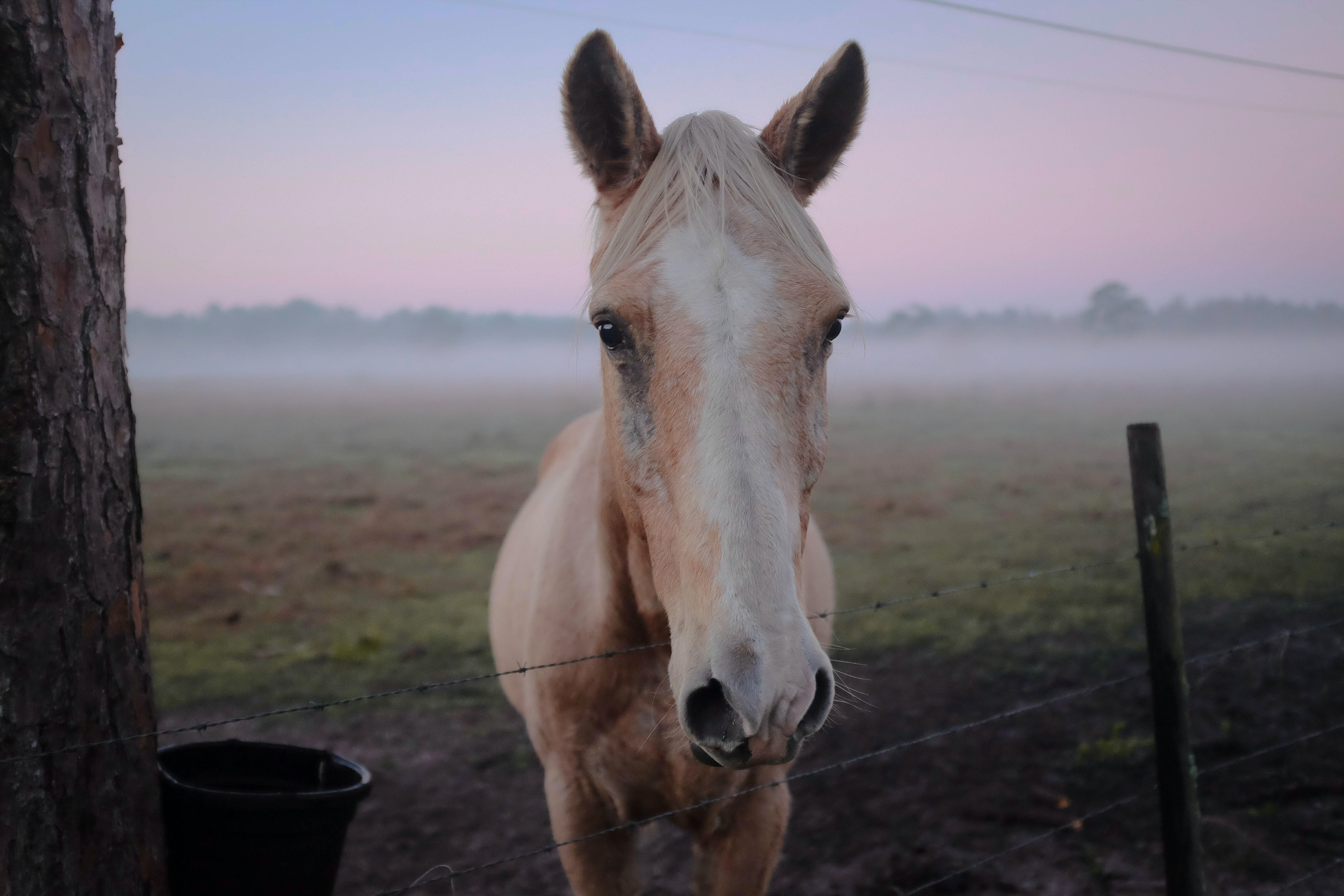 A close-up of a palomino horse's head over a barbed fence with fog enveloping the pasture