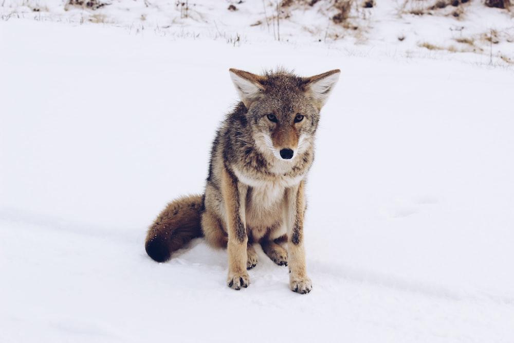 brown wolf sitting on snow