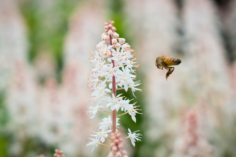 bee in front of white flowers