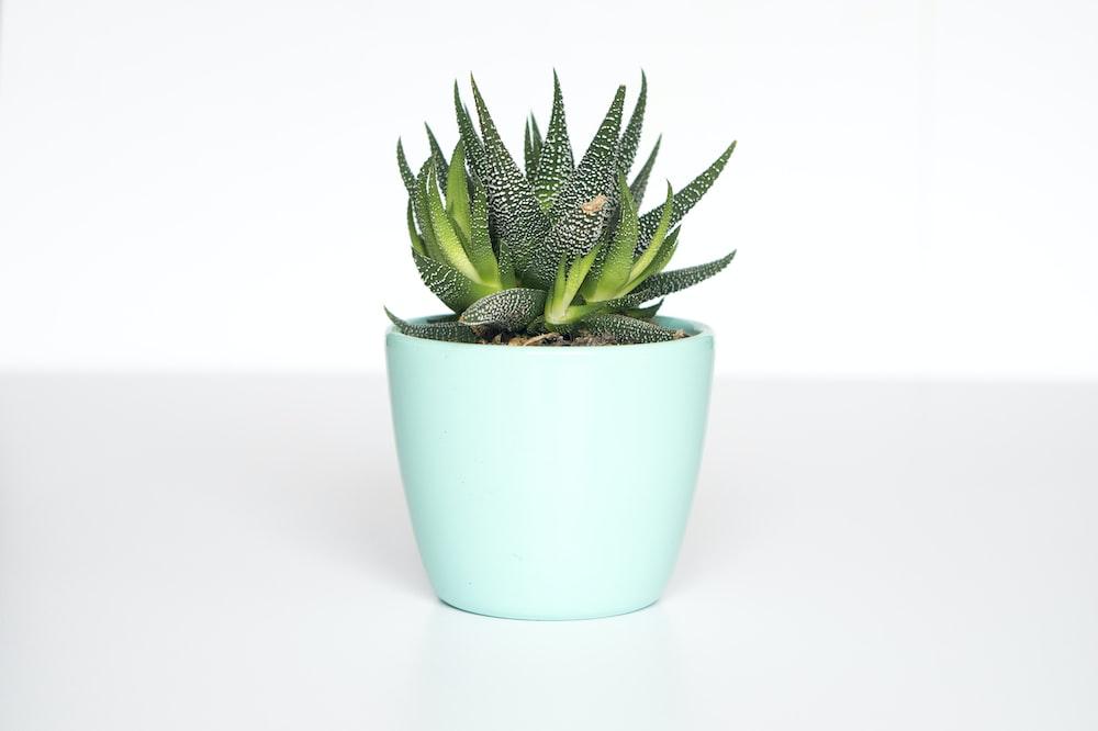 green succulent in teal ceramic vase