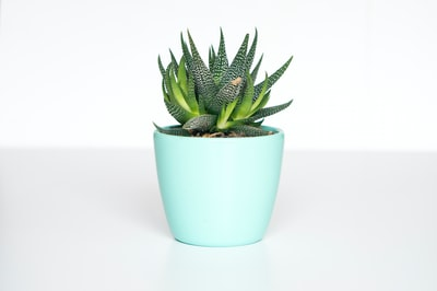 green succulent in teal ceramic vase plant teams background
