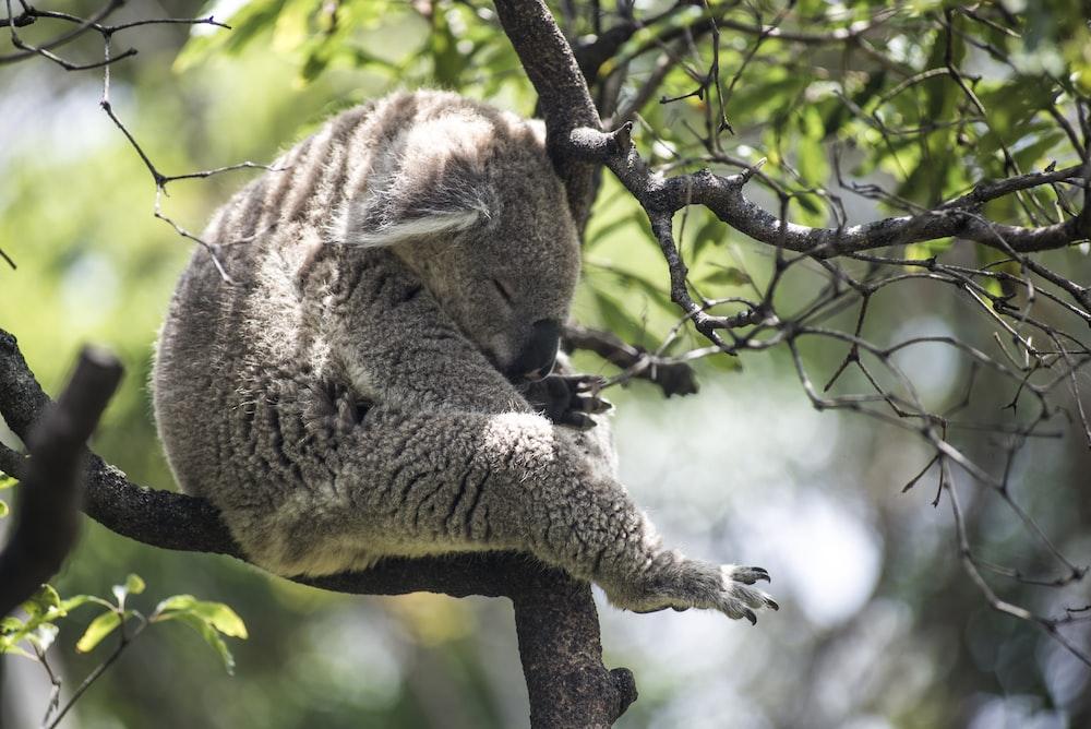 grey koala bear on tree