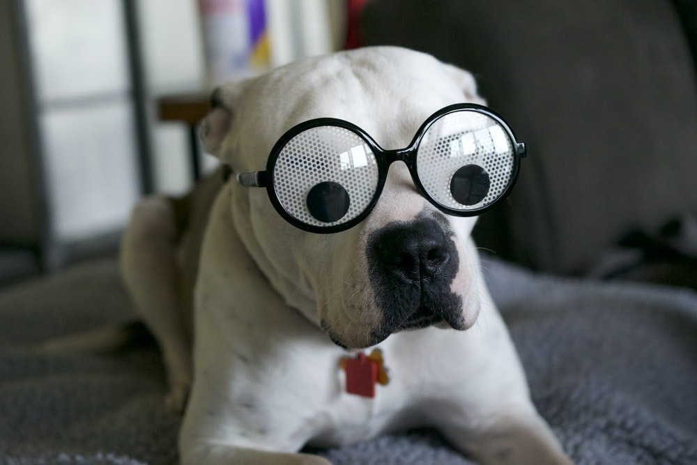 white and brown short coated dog wearing black sunglasses