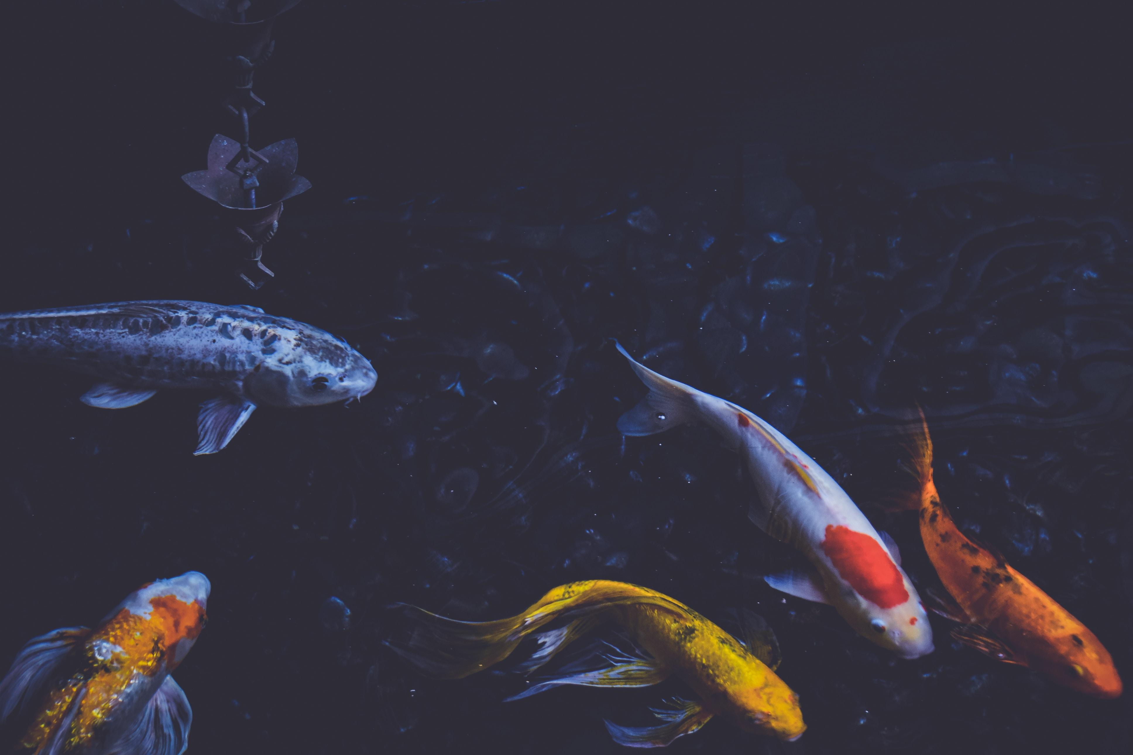 Orange, black, white, and yellow Koi fish swimming in a pond