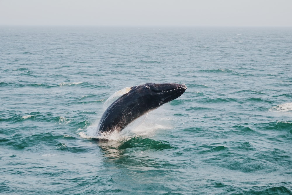 humpback whale above body of water