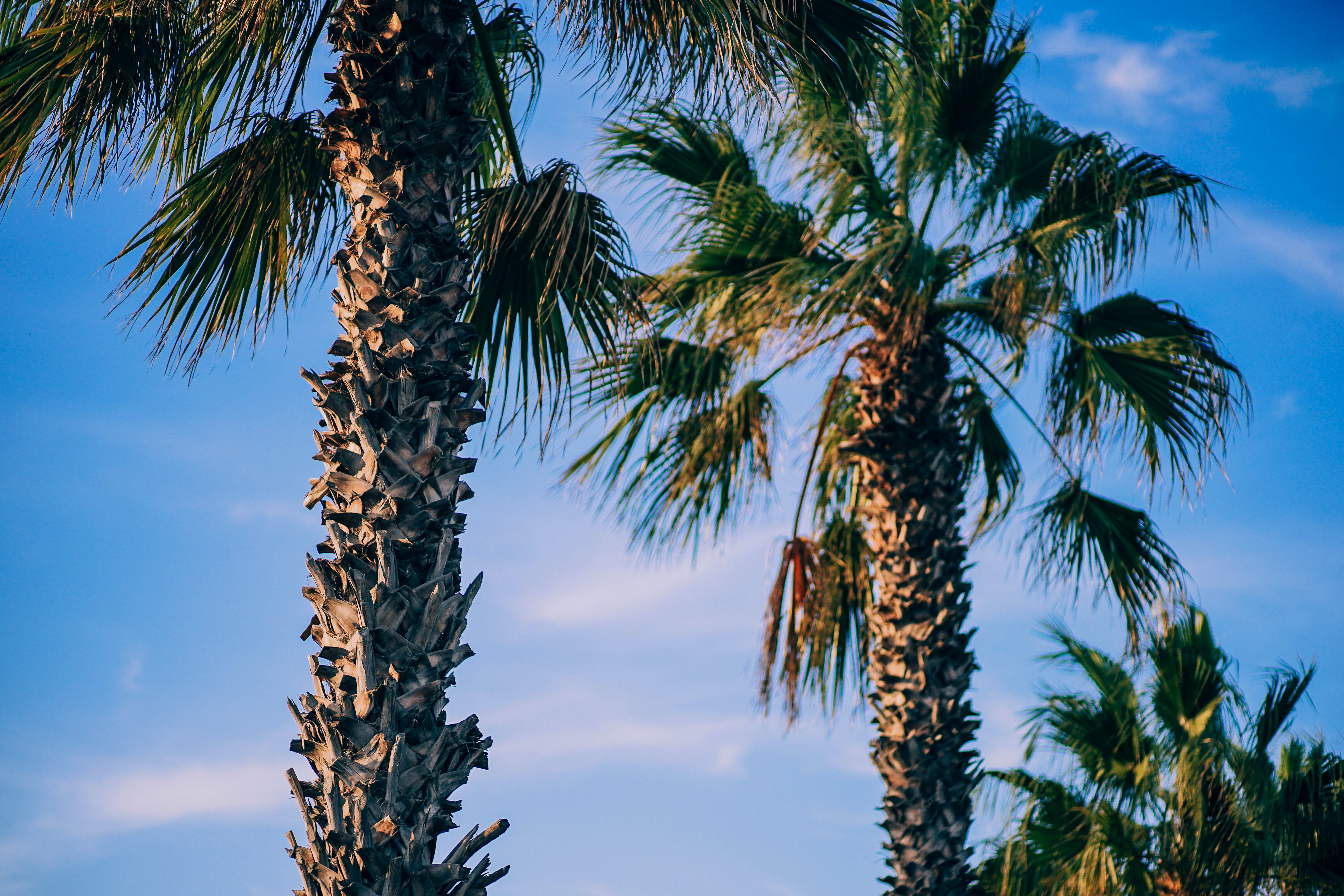 Palm tree trunks and fronds in front of a cloudy blue sky in Valencia