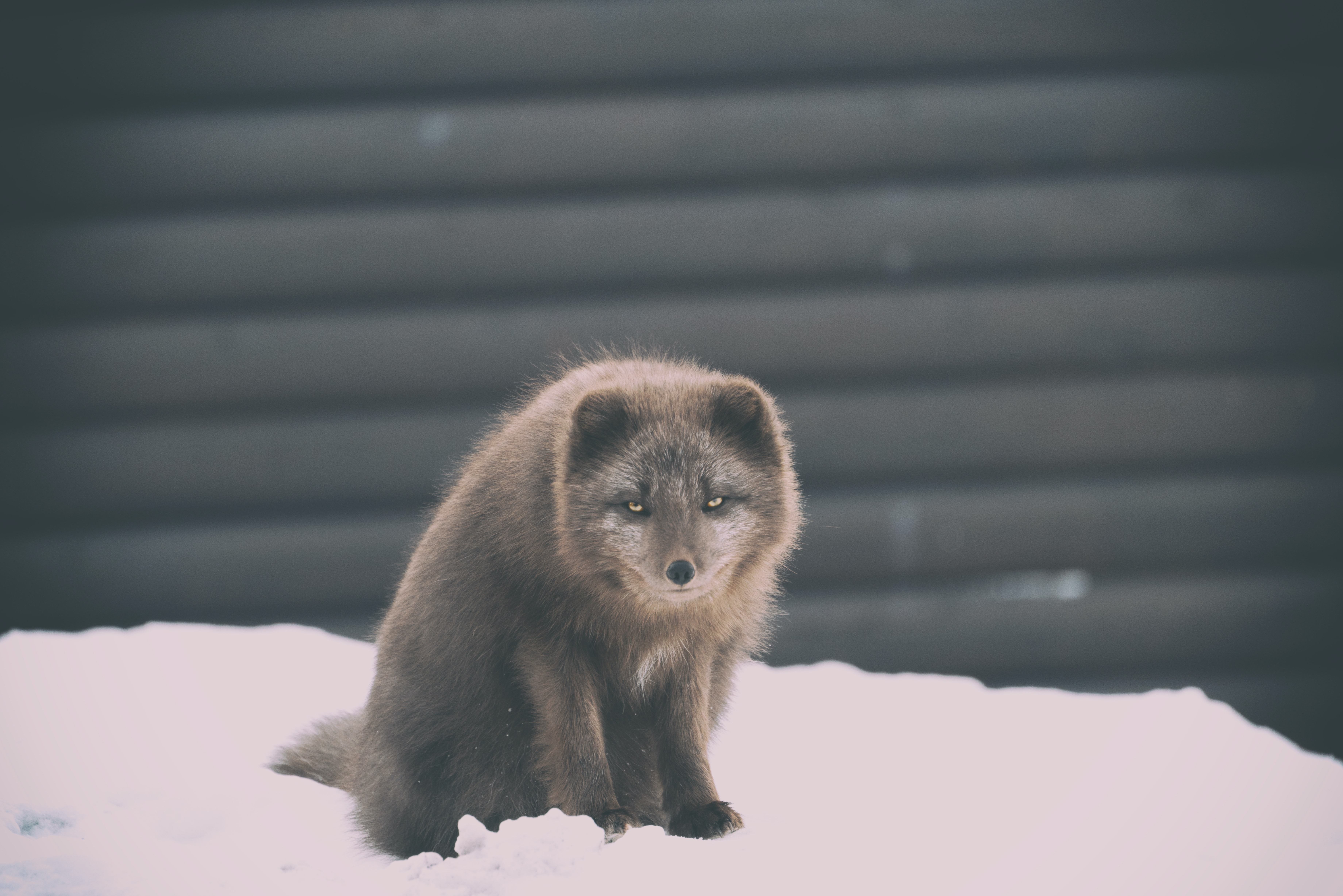A dark brown snow fox looking at the camera with squinting eyes on a mound of snow in front of a garage door
