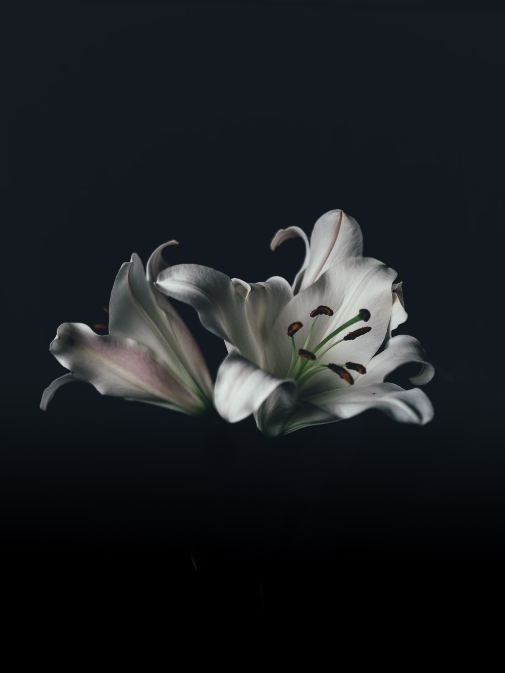 White flowers dark background photo by yousef alfuhigi two white lily flowers against a black background mightylinksfo