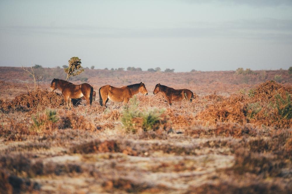 adult horses on soil field