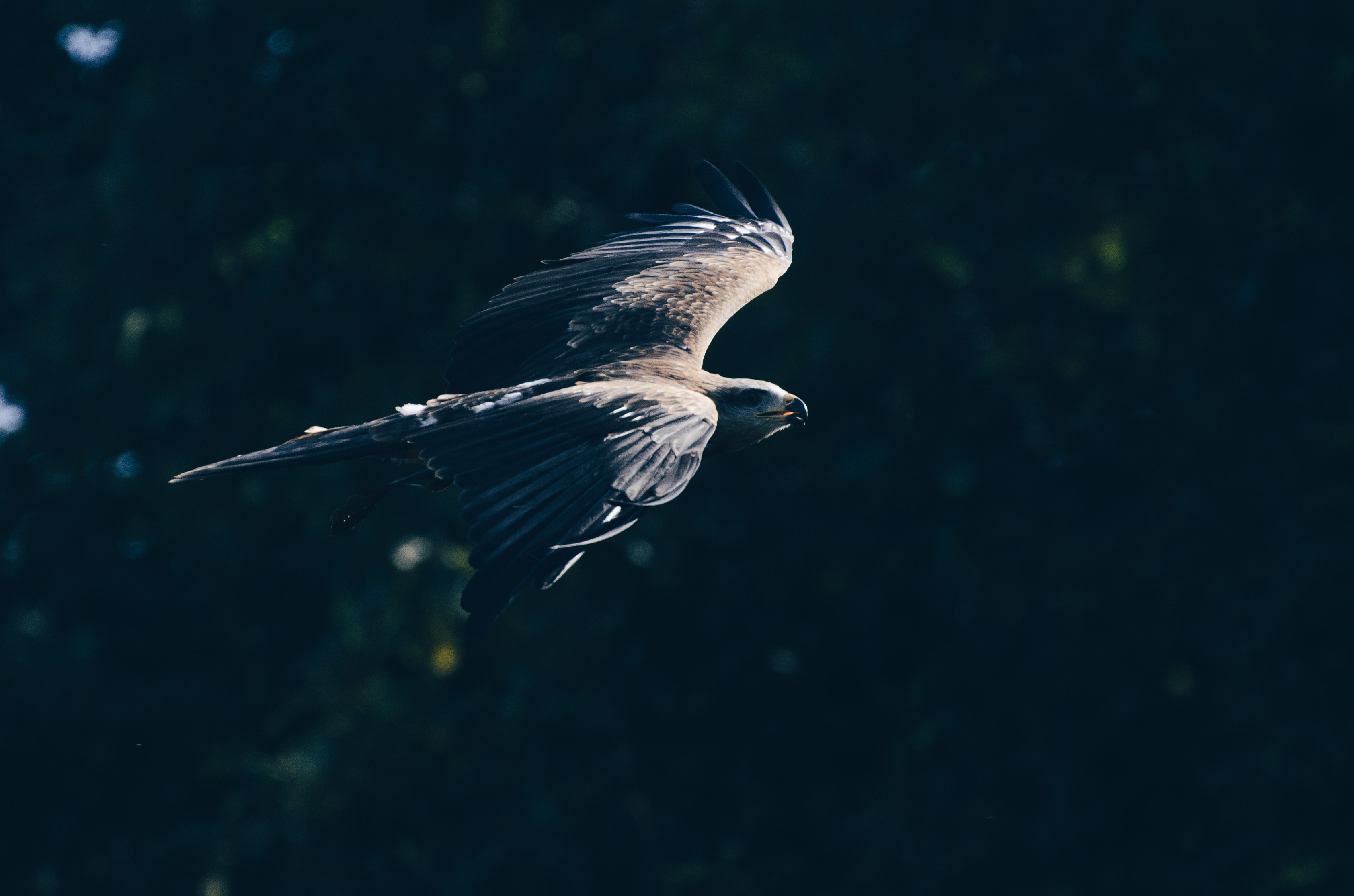 macro photography of grey and black eagle