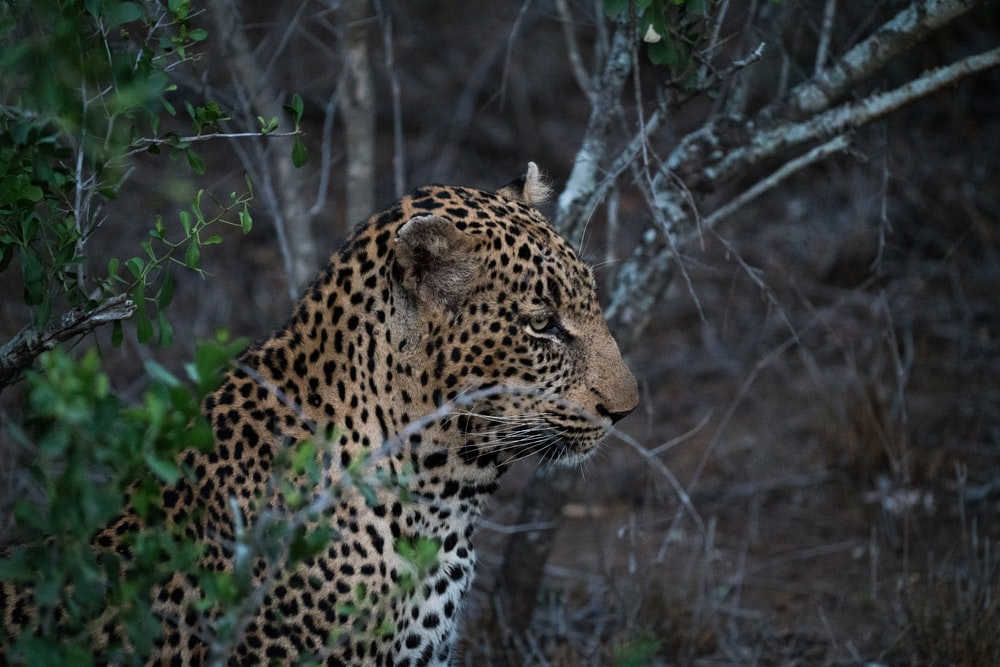 focus photography of leopard near tree
