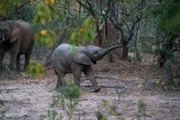 black young elephant walking beside the trees