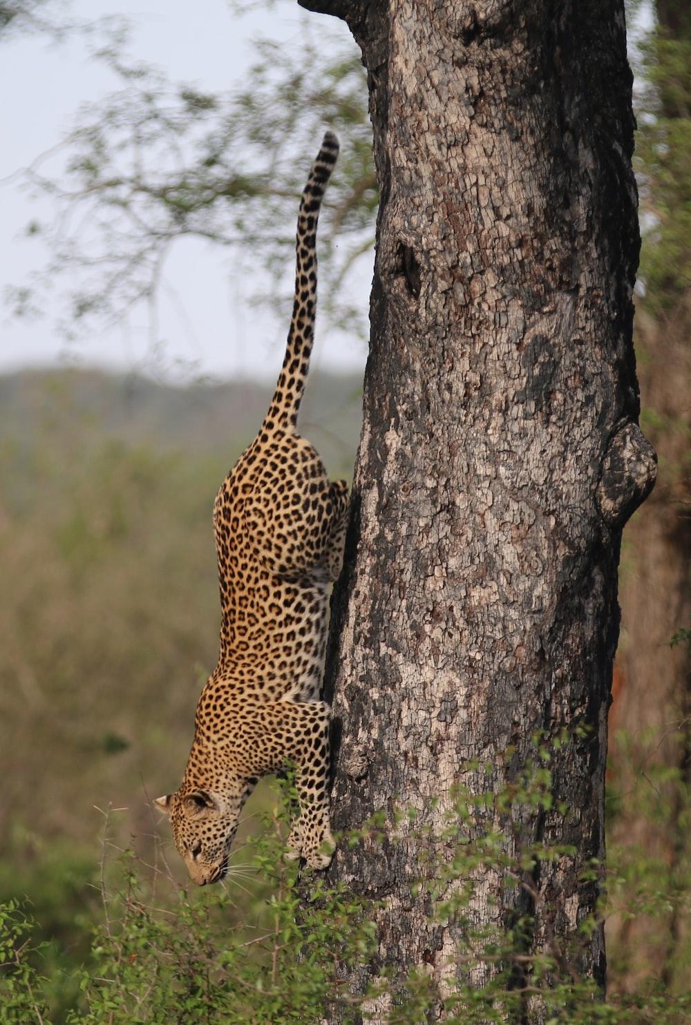 loepard climbing down on tree during daytime