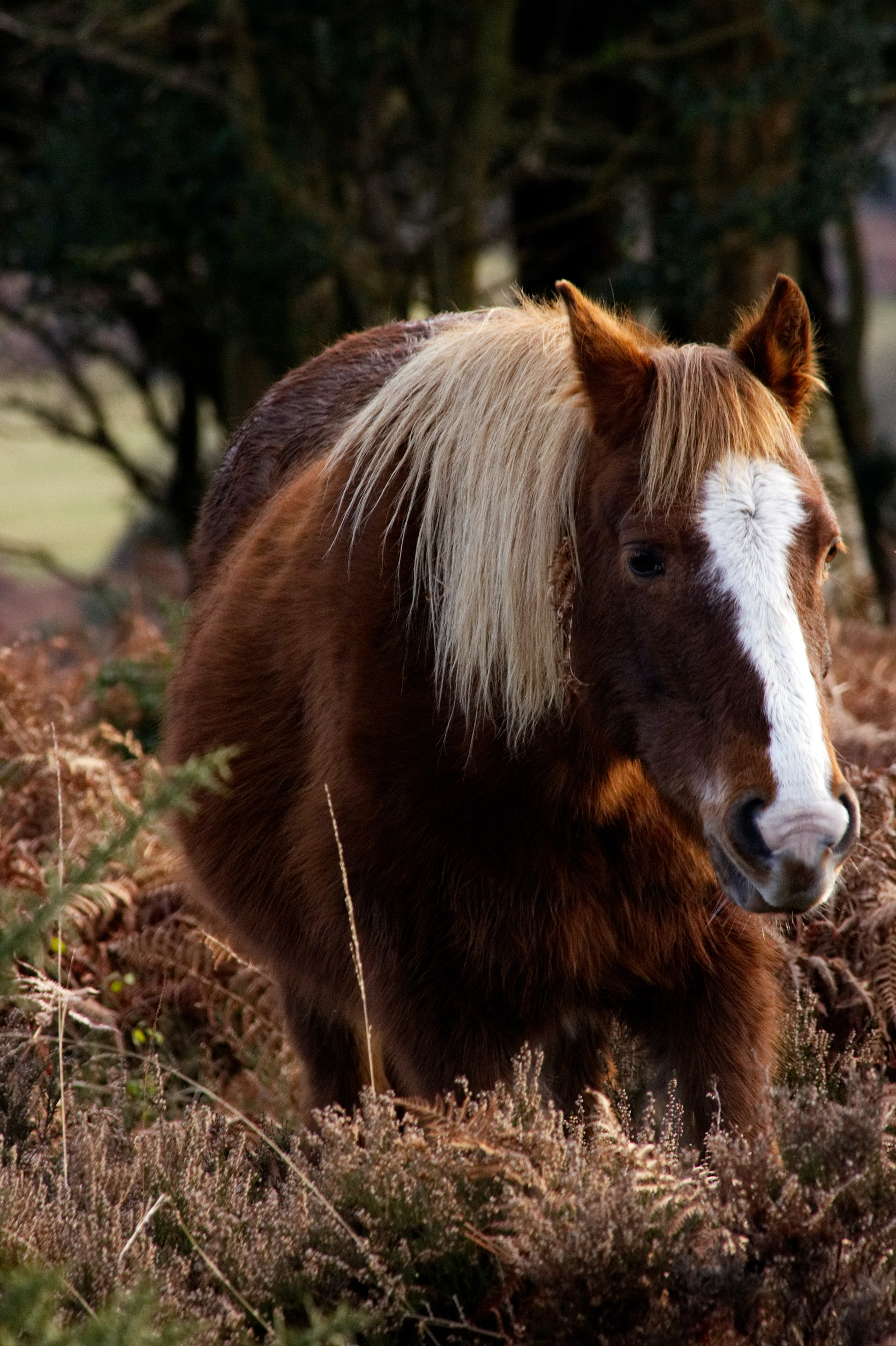 A horse with a fluffy brown coat and a white marking on its head standing in dry ferns