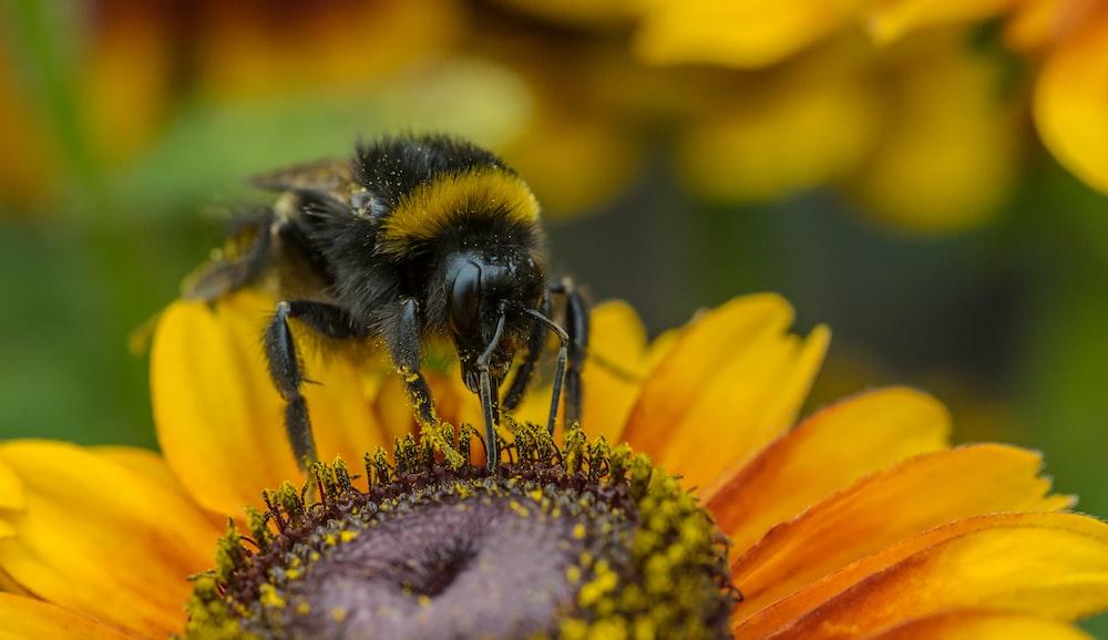 focus photo of bee on sunflower