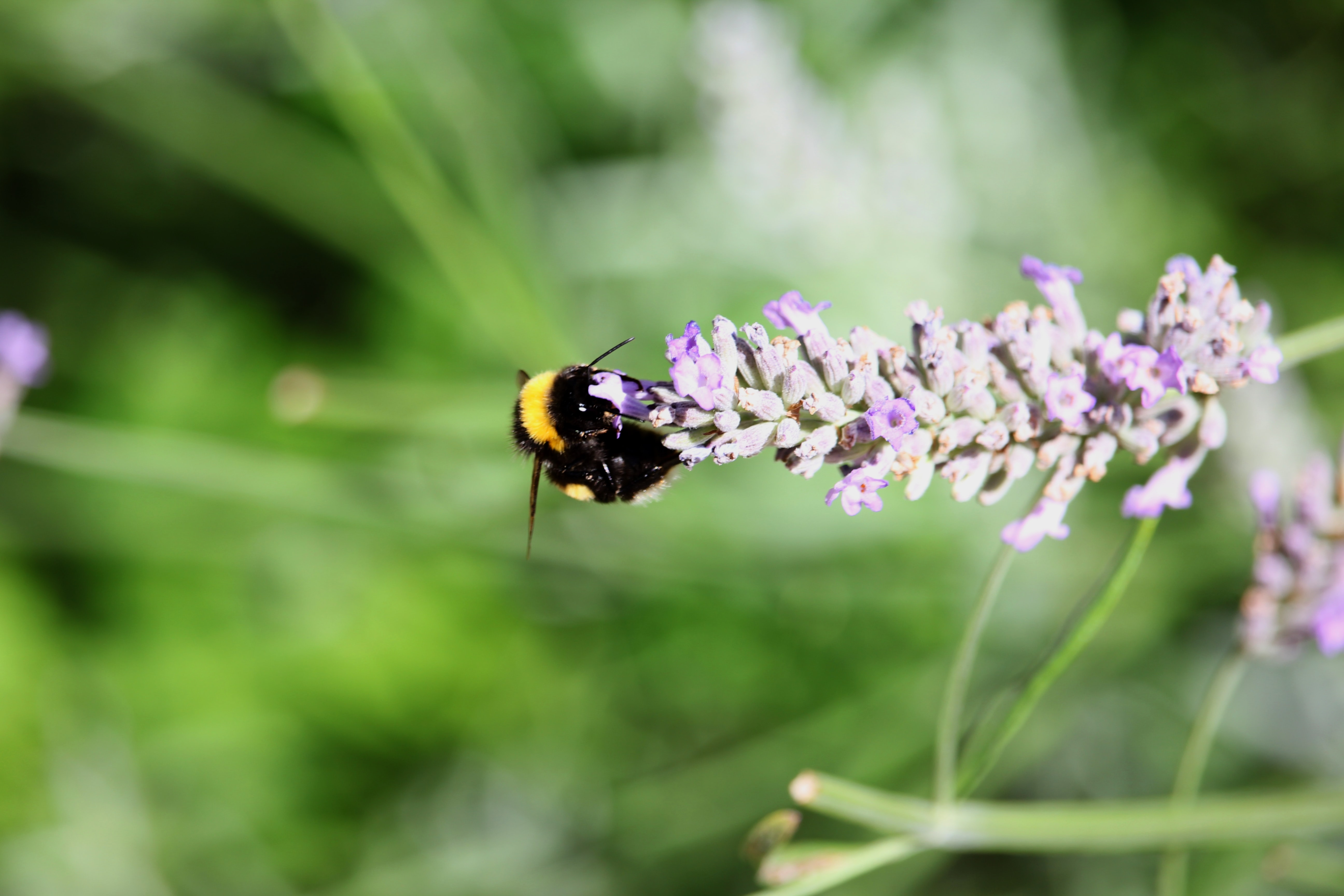 Bumblebee pollinates flowers on a lavender plant