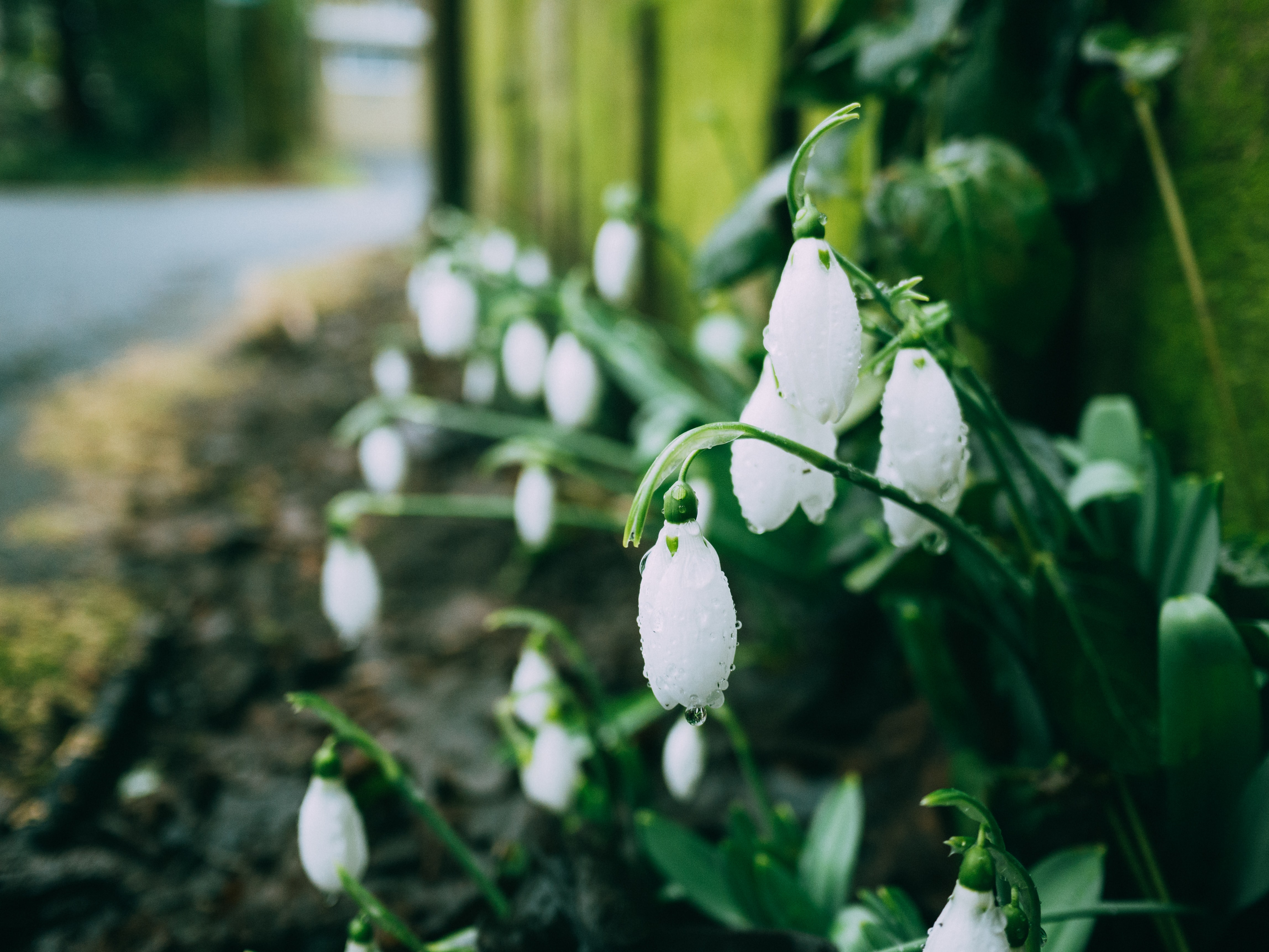 White snowdrop flowers near sidewalk in front of yellow fence in Spring