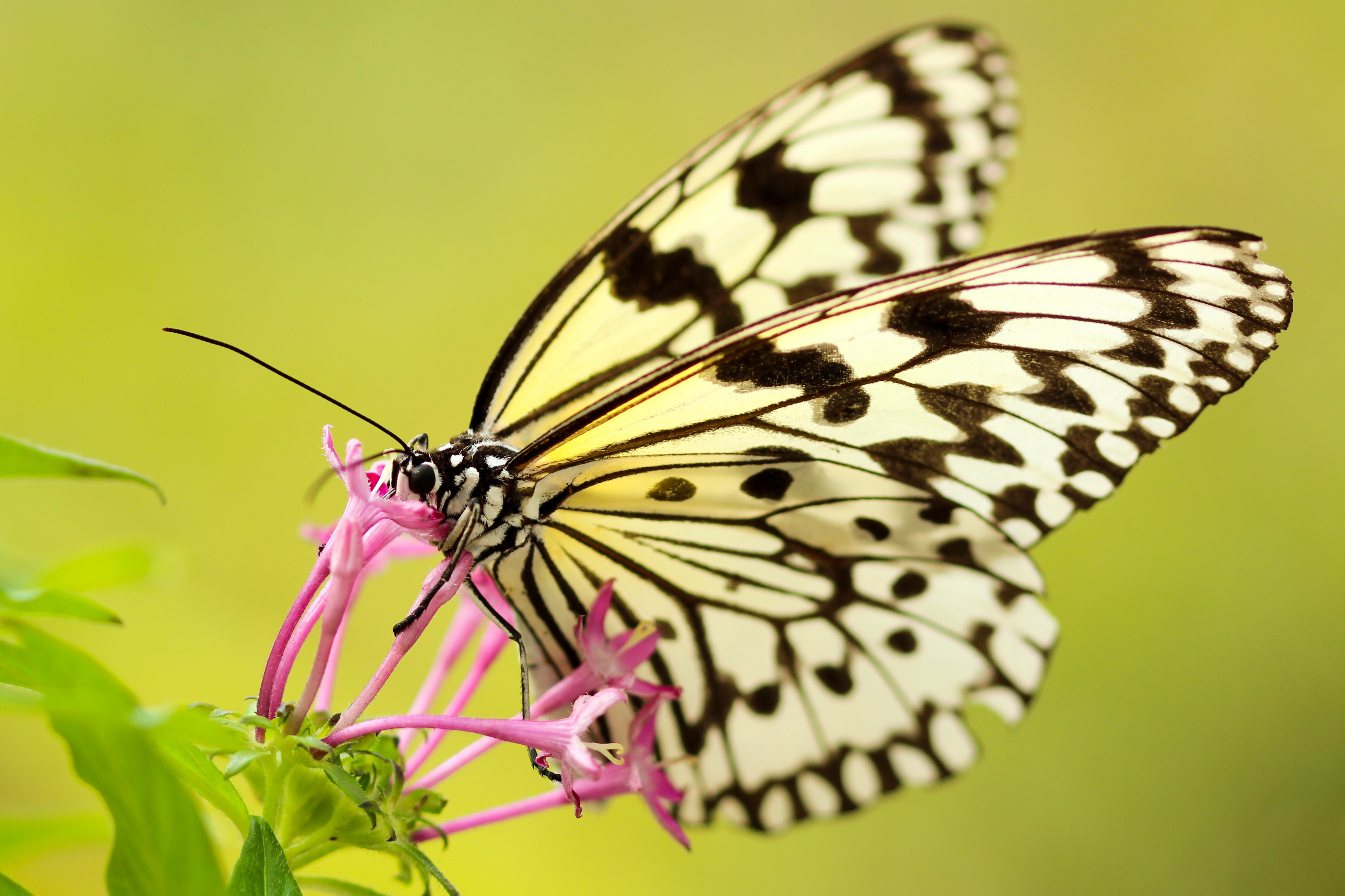 A white monarch butterfly feeding on pink flowers
