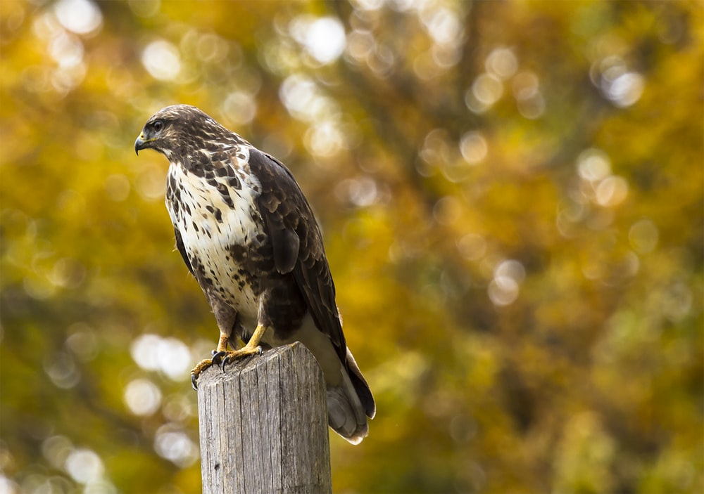 brown eagle on gray wooden fence in tilt shift photography