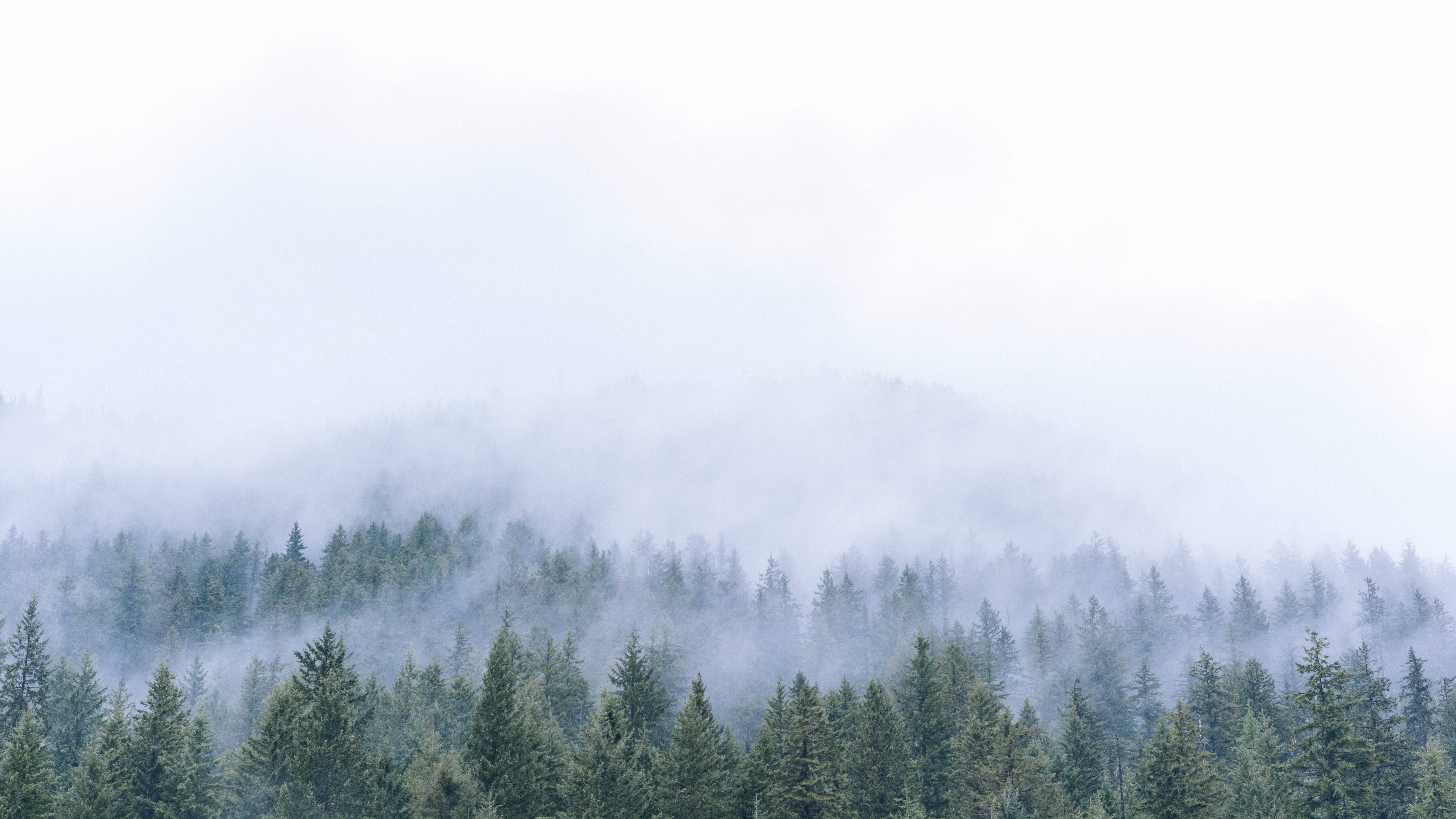 Lines of evergreen trees under fog in Sandon