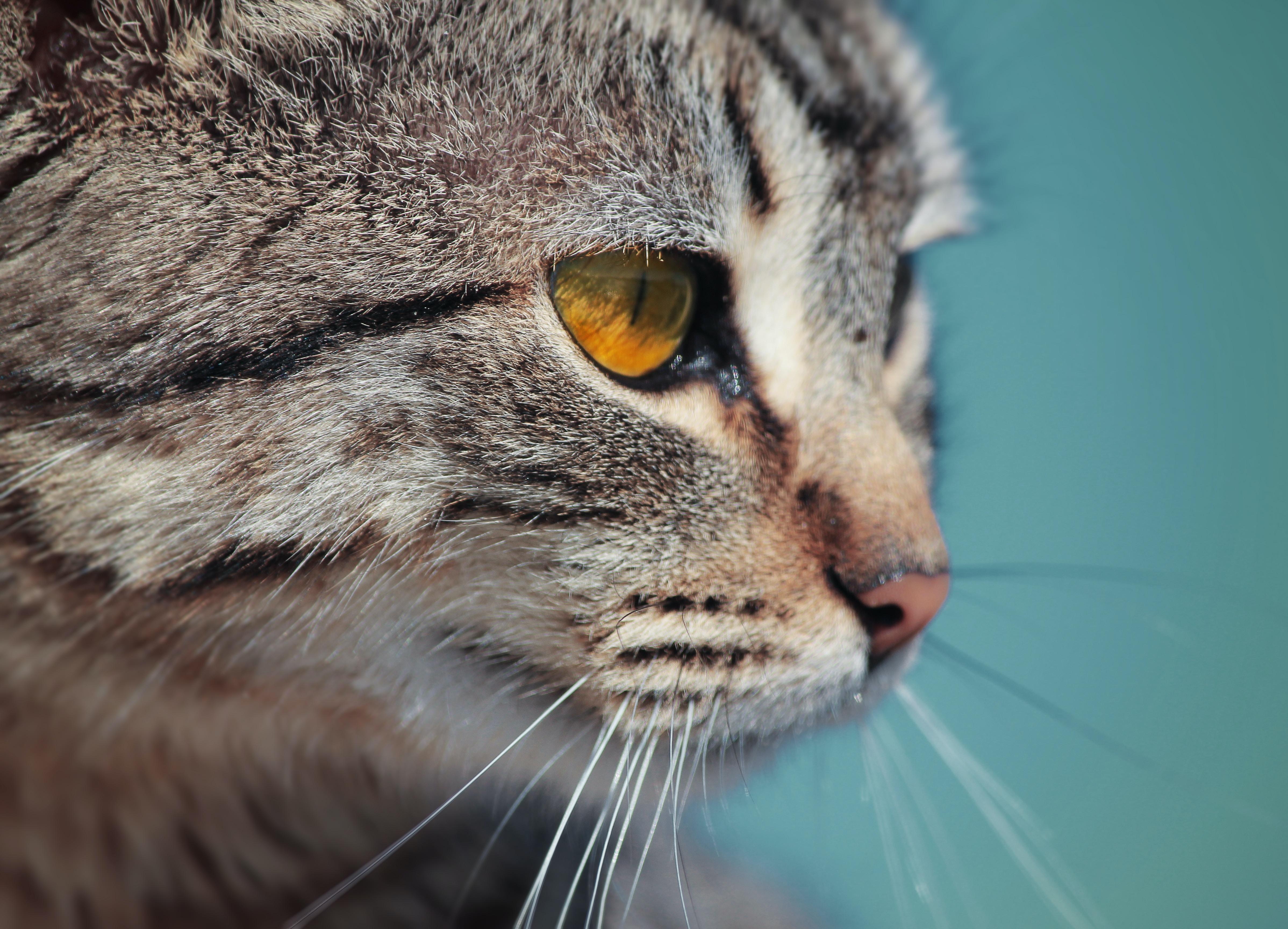 Close-up of a tabby cat's light brown eye