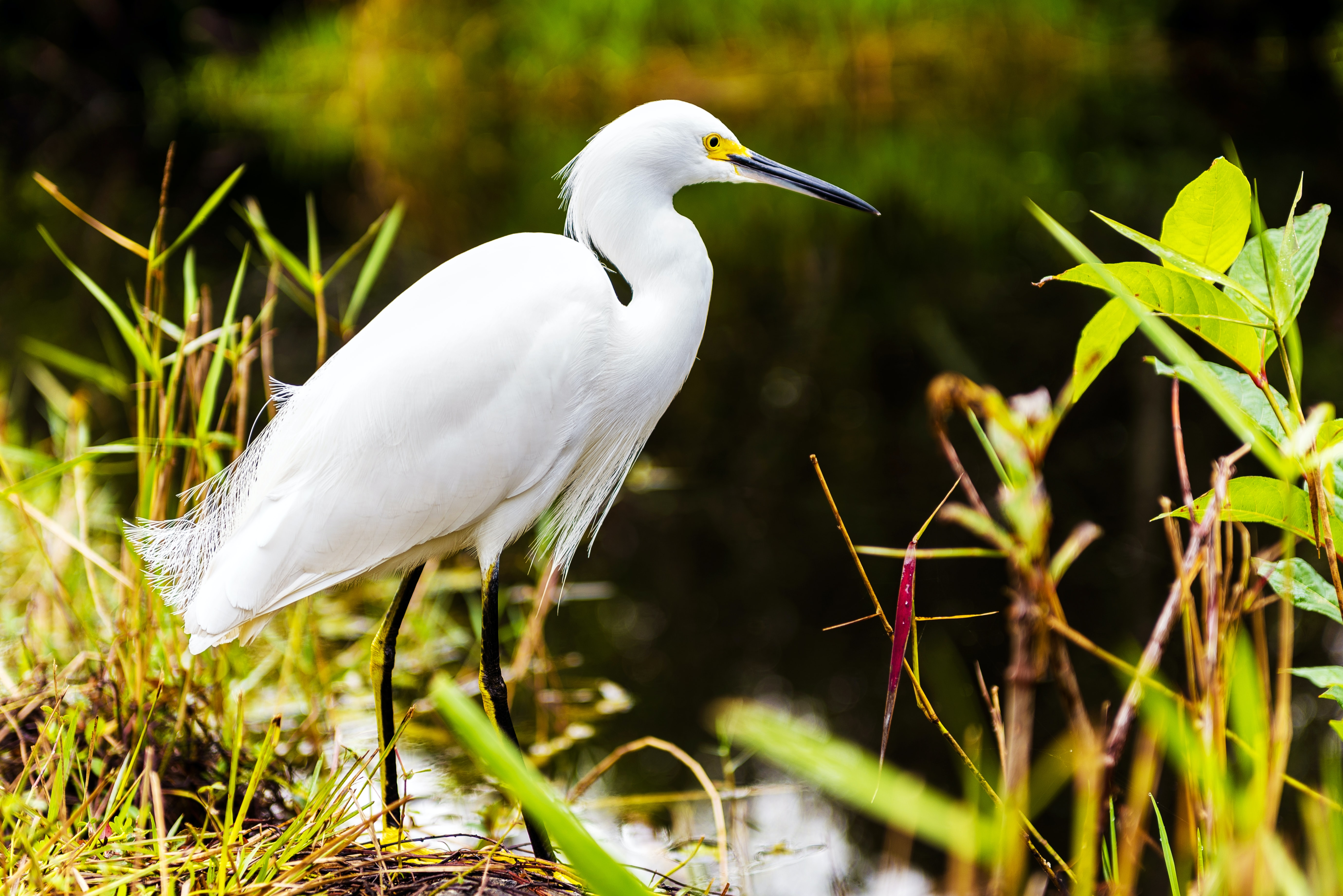 A white heron on the edge of the water with aquatic plants surrounding them