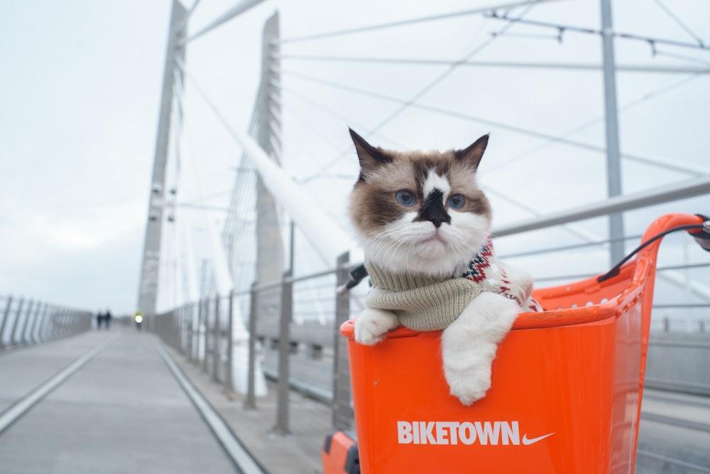 focused photo of a short-hair white cat on orange box