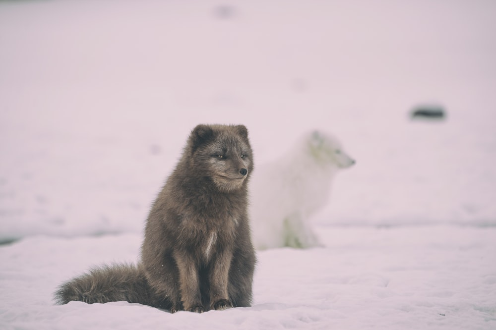 two white and black wolfs on ice