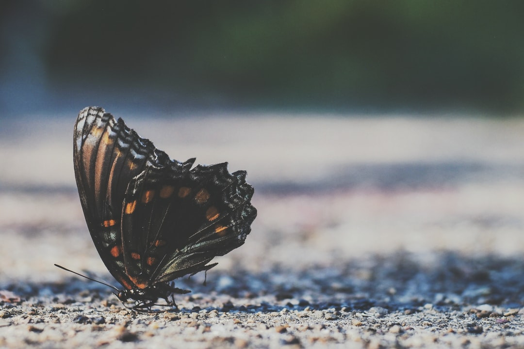 Is there any other insect more beautiful than the butterfly? So graceful and delicate, not even human hands can touch them or they will die. It seems as though someone painted on their wings, each different in it's own way.