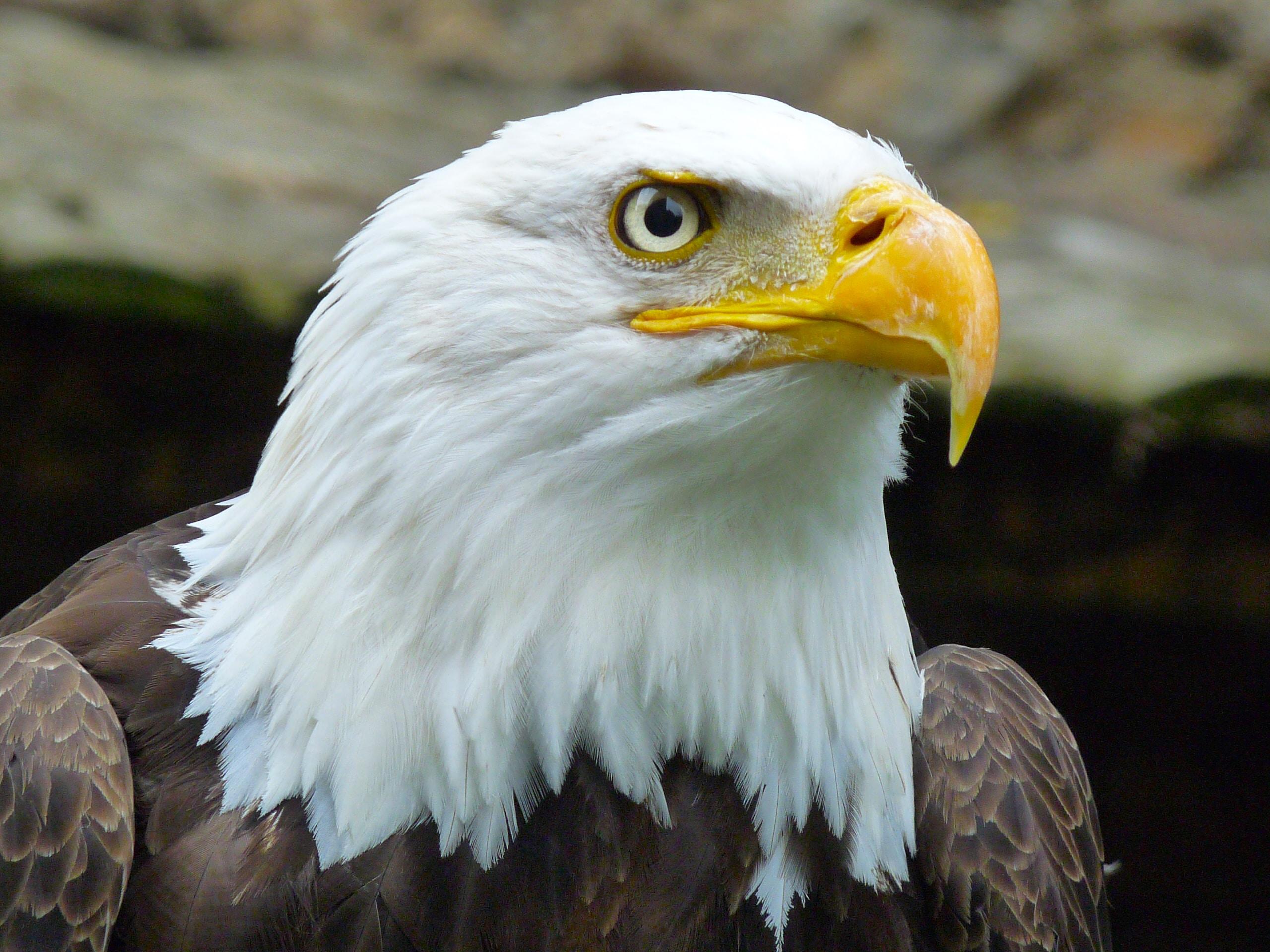 Macro of a bald eagle looking up