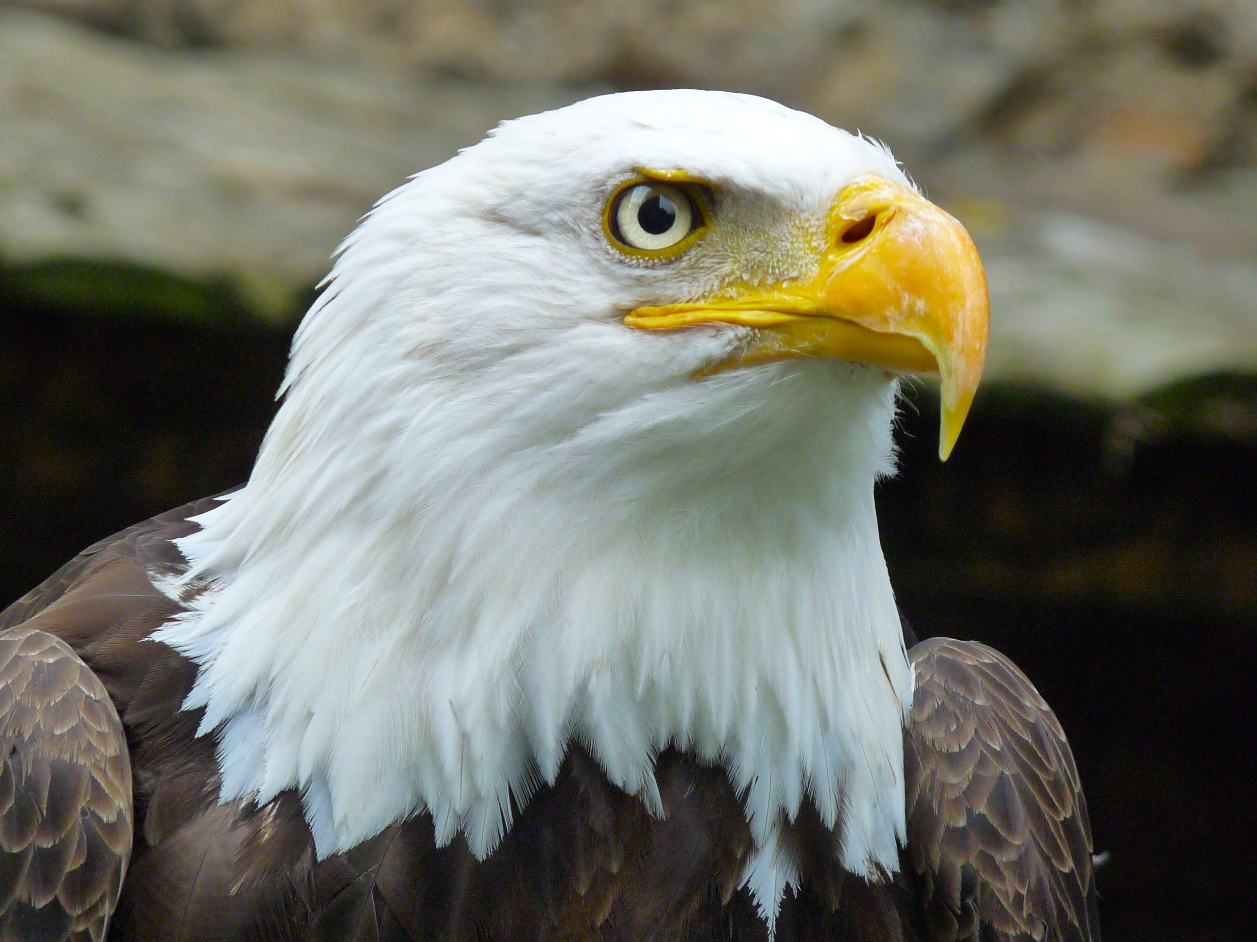 Macro of a bald eagle looking up