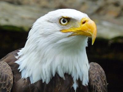 hawk animals zoom background