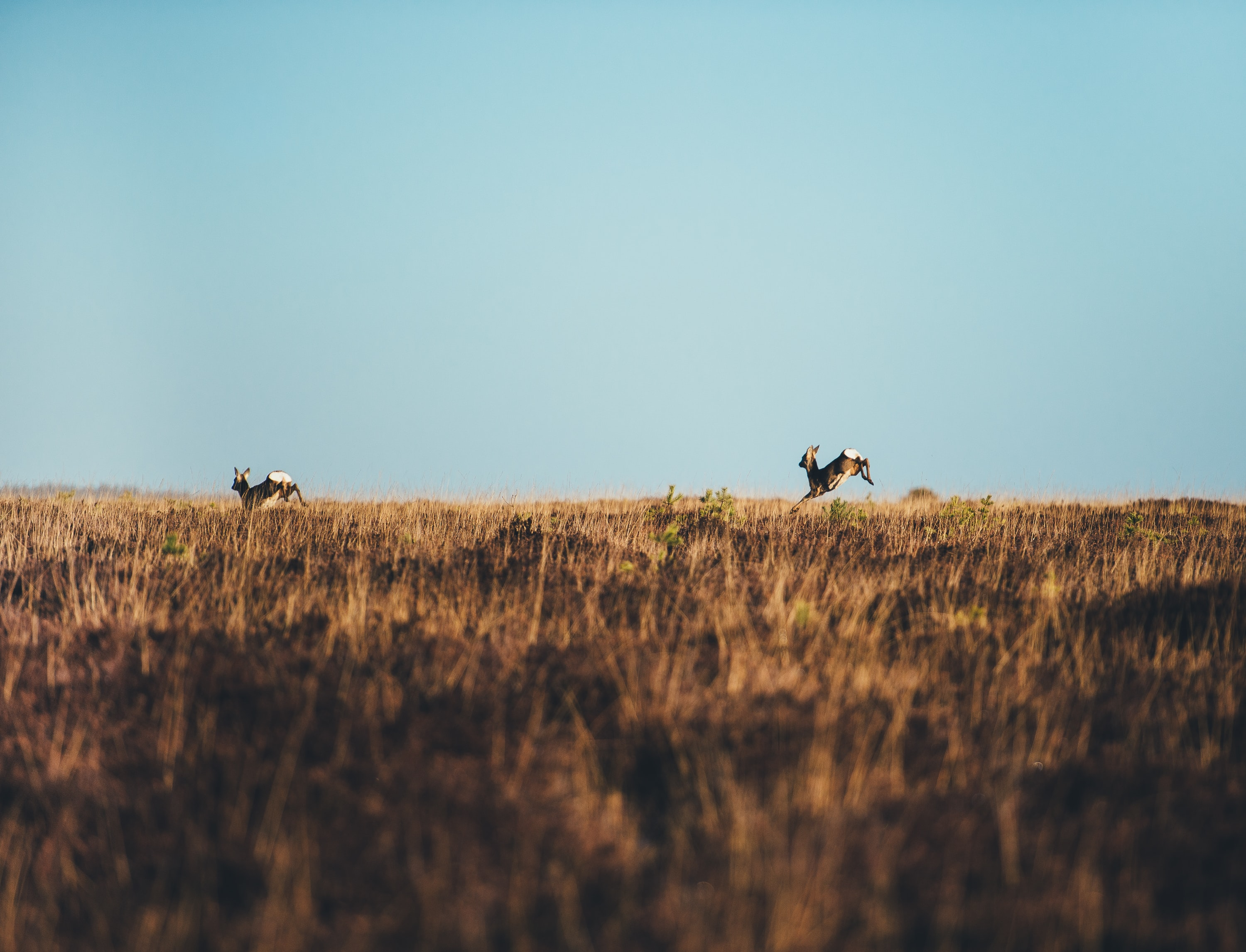two brown deer running on brown grass field at daytime