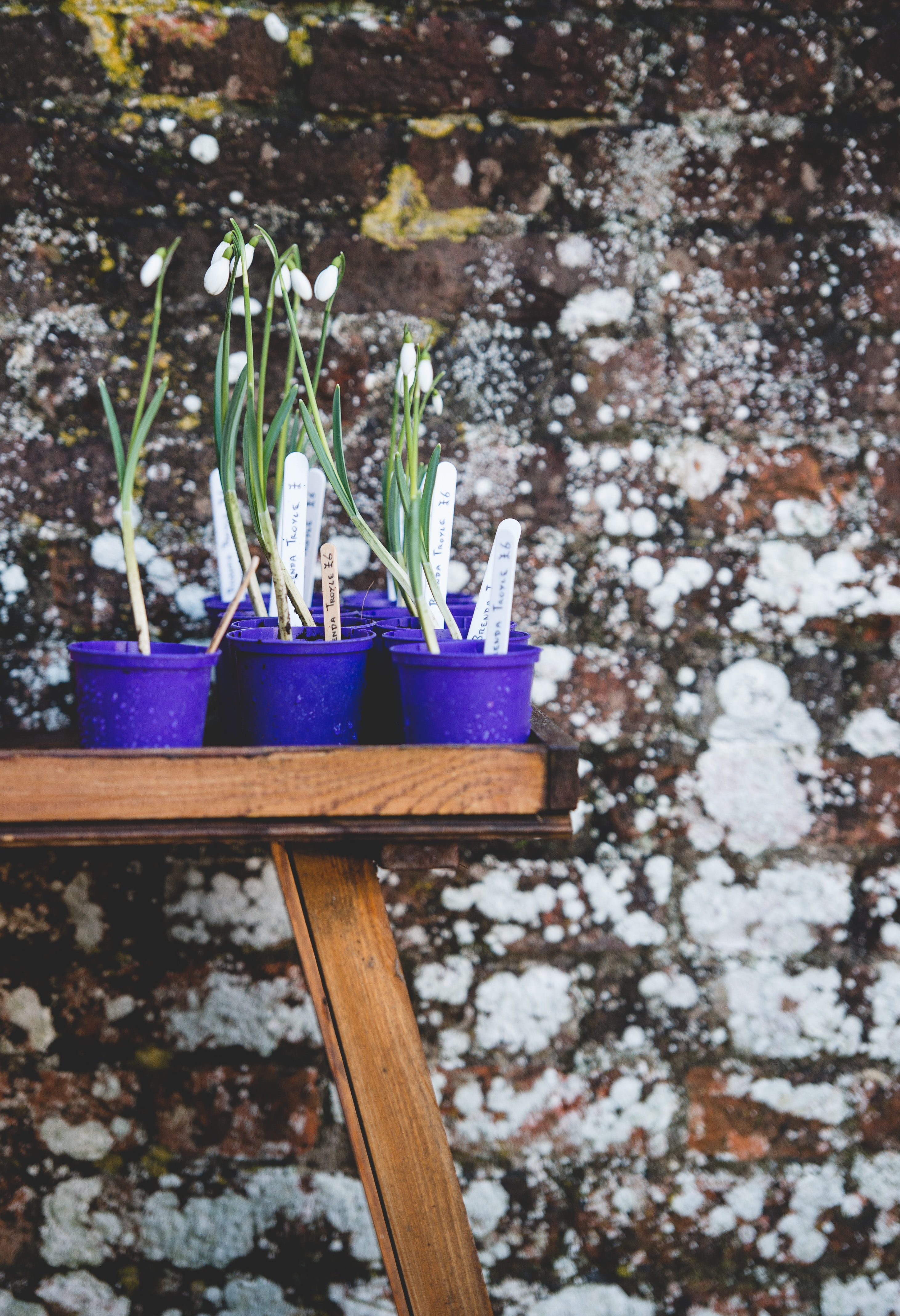 White snowdrop flowers in small blue pots on a shelf