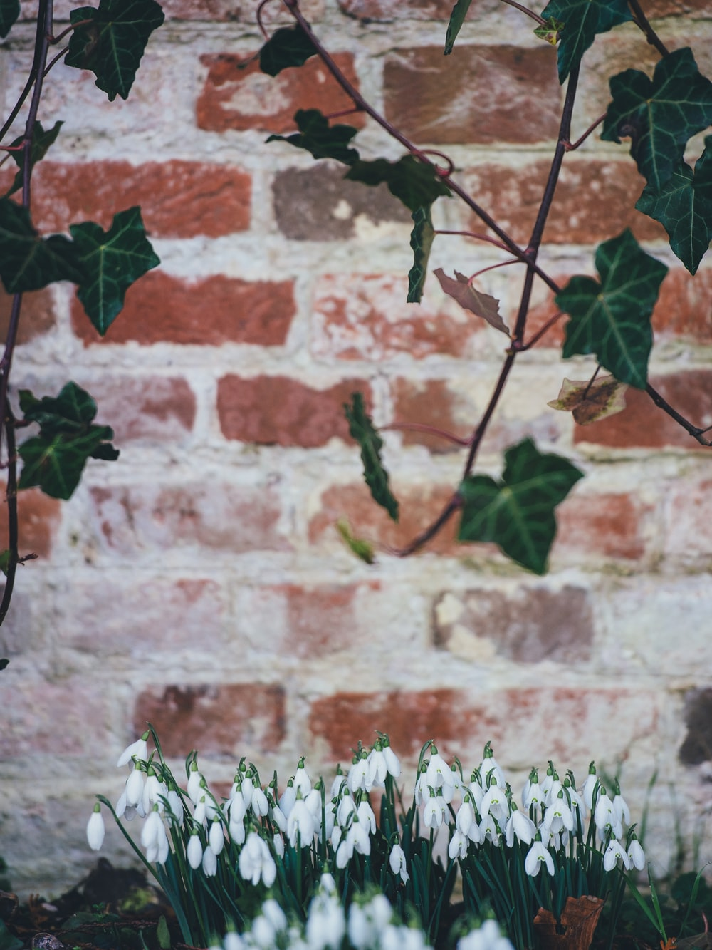 green leafed vine plant and white tulips in selective focus photography