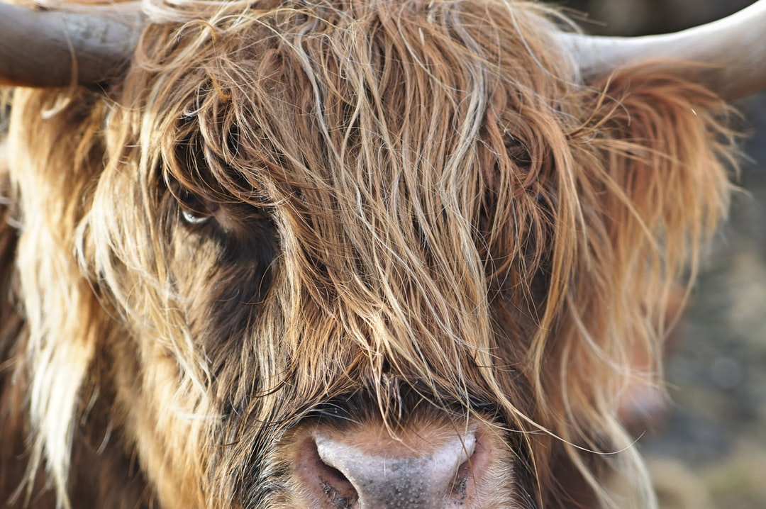 We've been staying on the Isle of Skye for a few months now. We always saw images of these long haired cows, but never encountered them. During a drive we finally saw them. We got out of the car, slowly approached them. They really did not care. They were not afraid at all. That's why we could take this nice close up portrait of one of them.