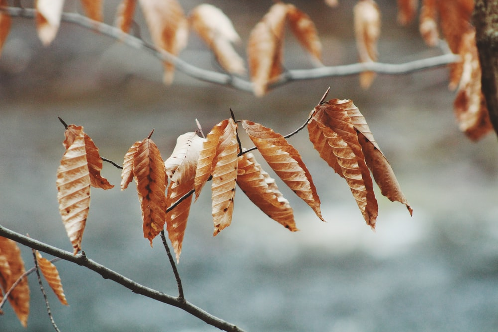 selective focus of brown leaves