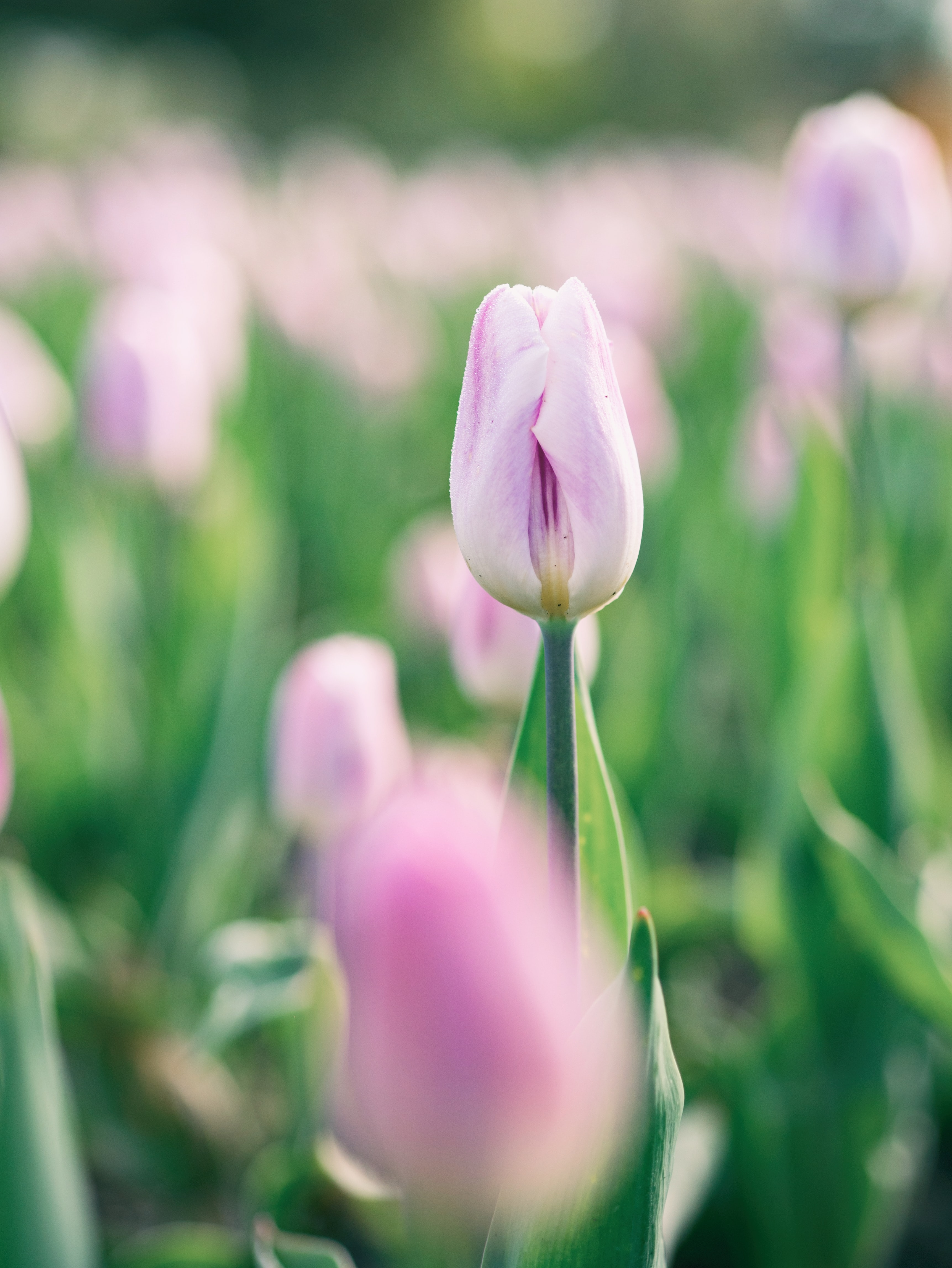 pink petaled tulip selective focus photography