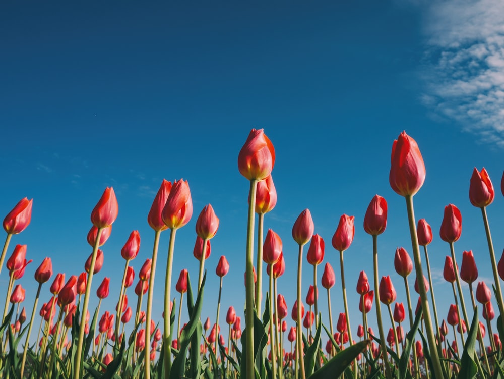 landscape photography of red tulips