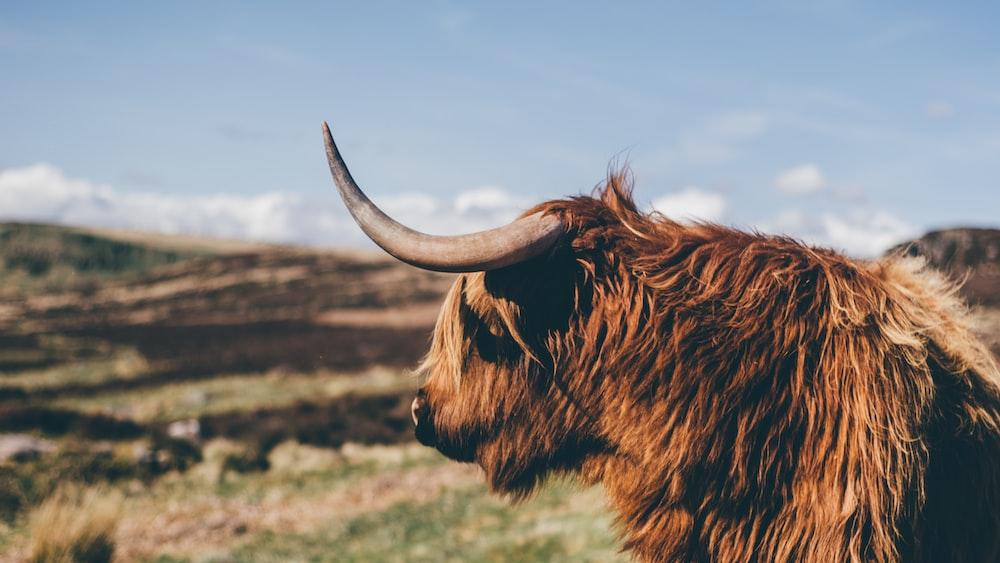 closeup photo of ox near grass