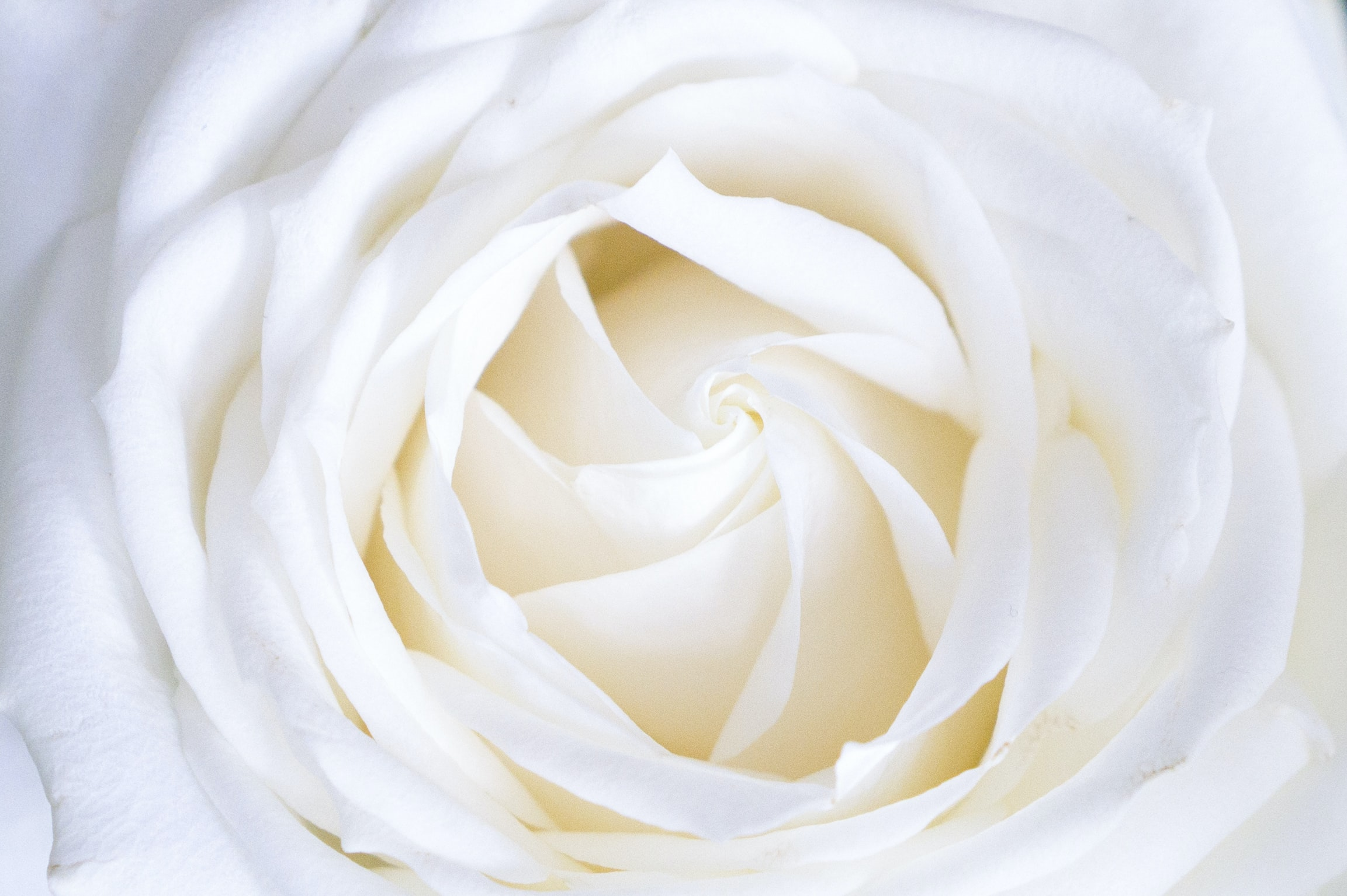 A macro shot of a white rose flower
