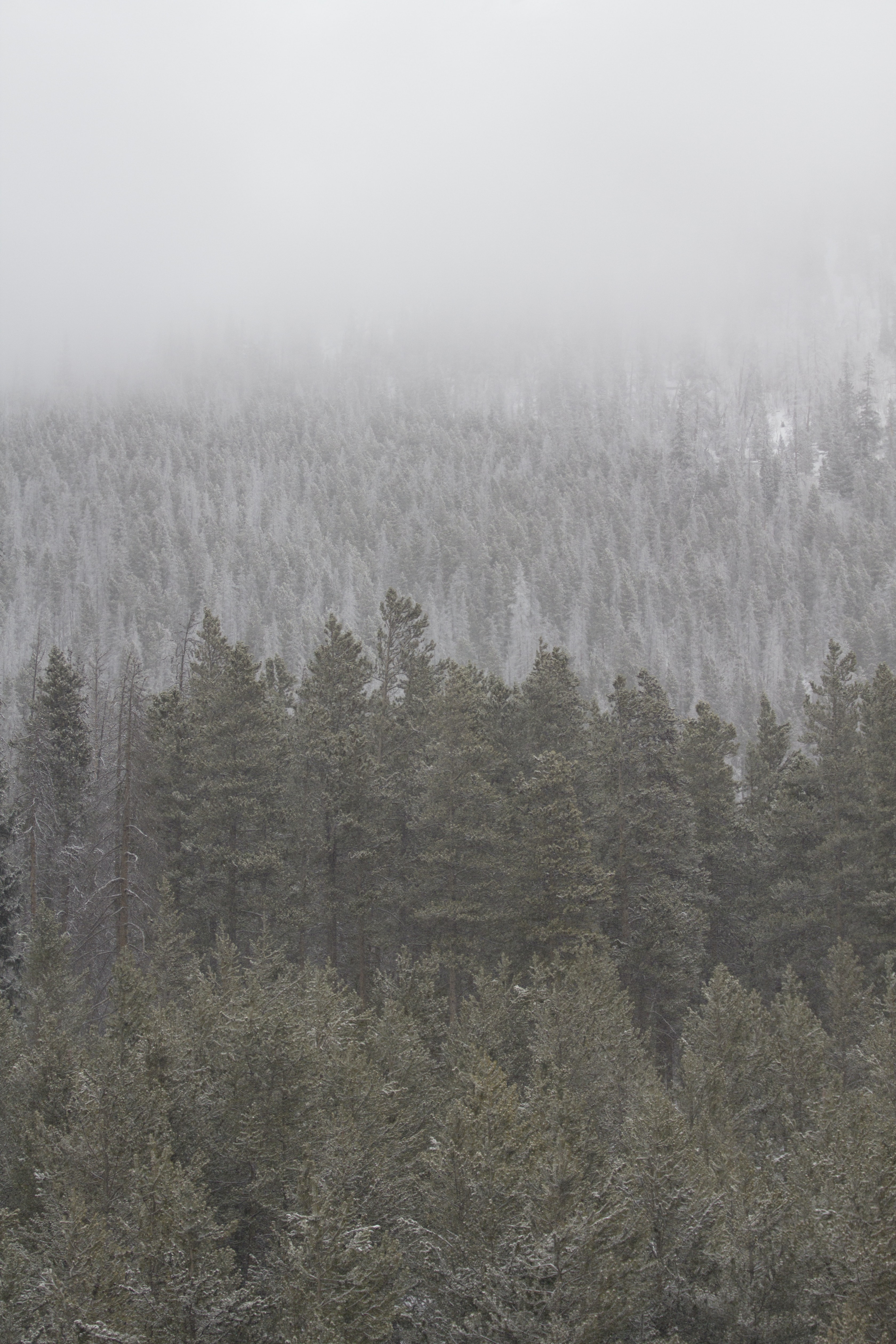 Frost-covered trees in fog in Breckenridge