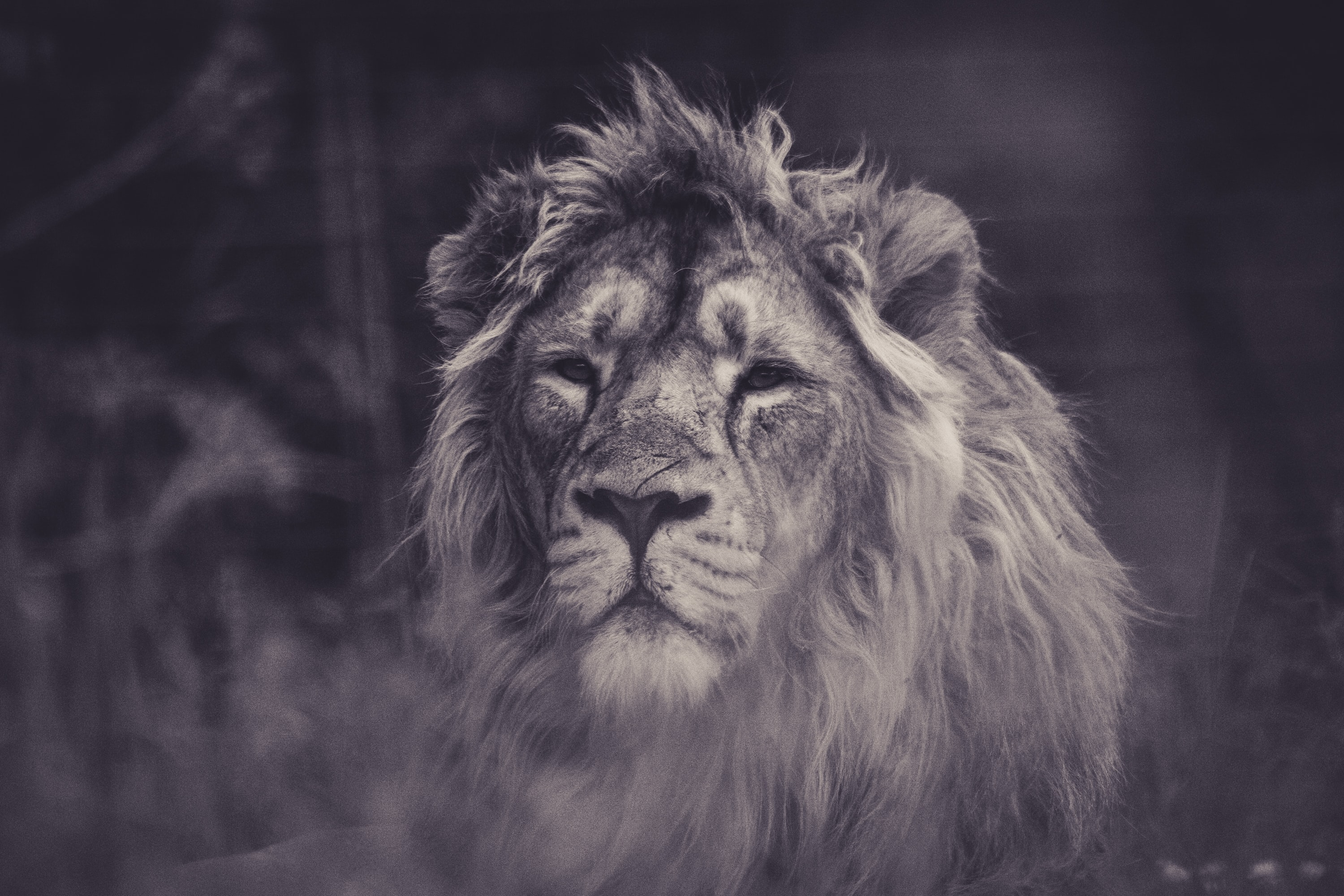 Black and white shot of lion facing camera in Eskilstuna