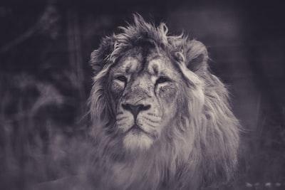 A beautiful lion at Parken Zoo, Sweden.