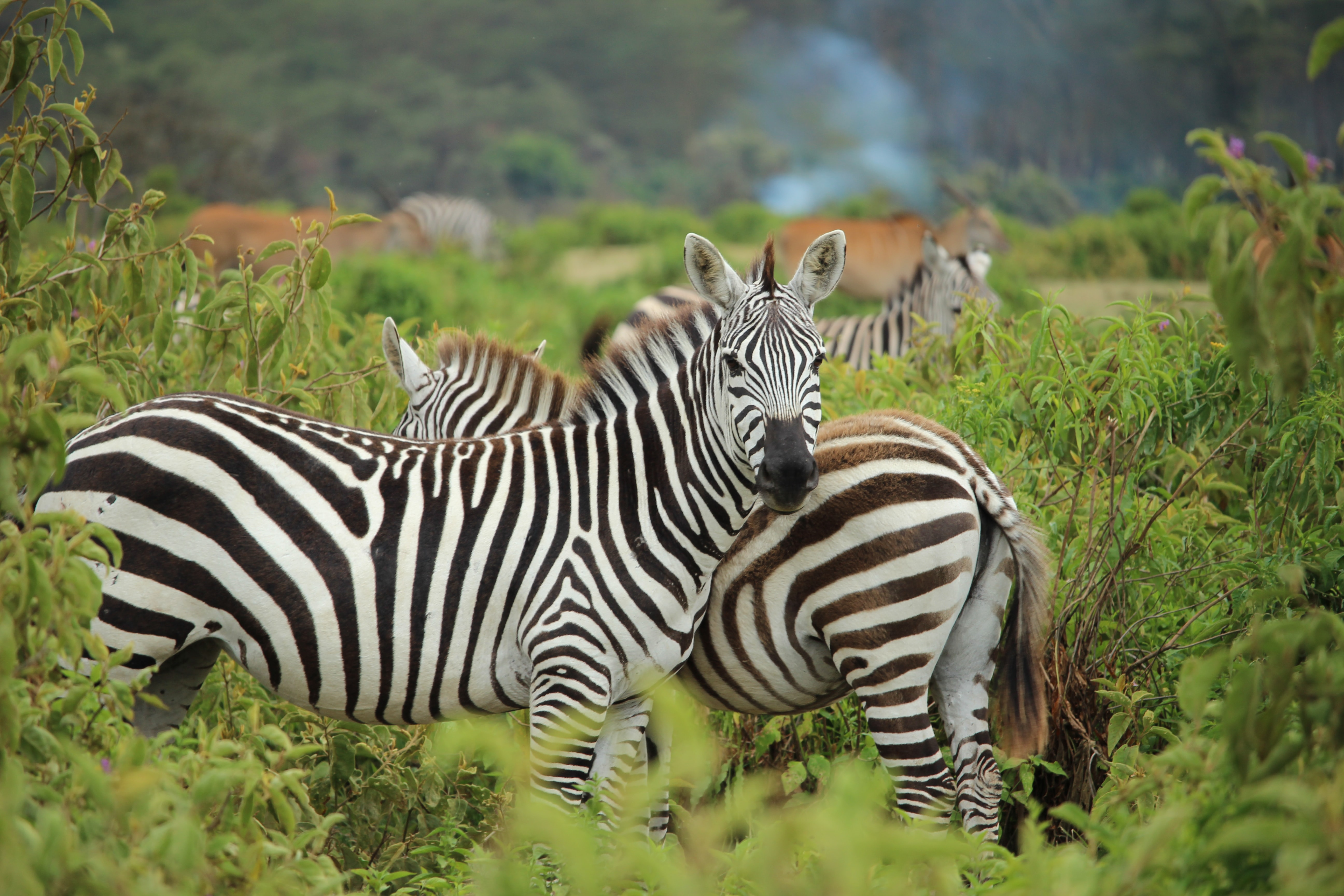 Zebras standing in foliage and looking at the camera