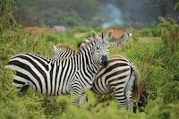zebra on green farm
