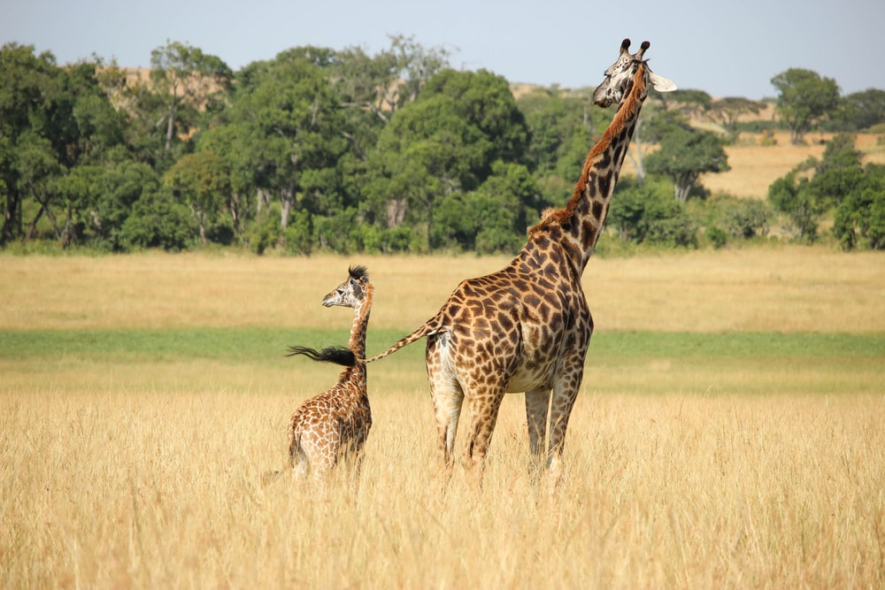 giraffe with young grazing on the field