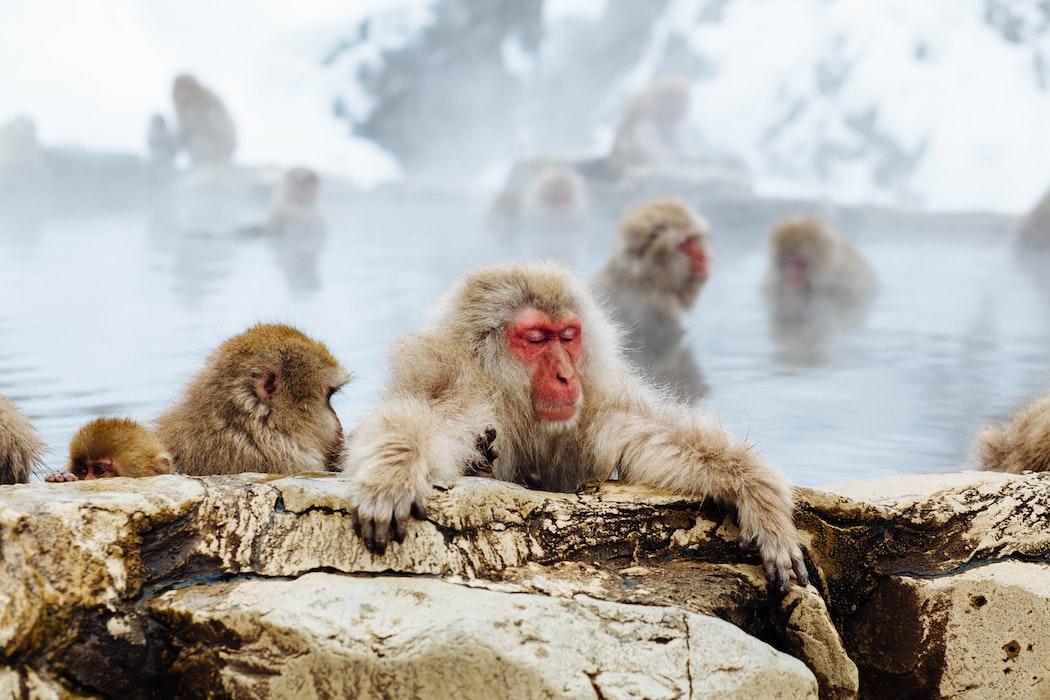 Jigokutani Monkey Park, Nagano