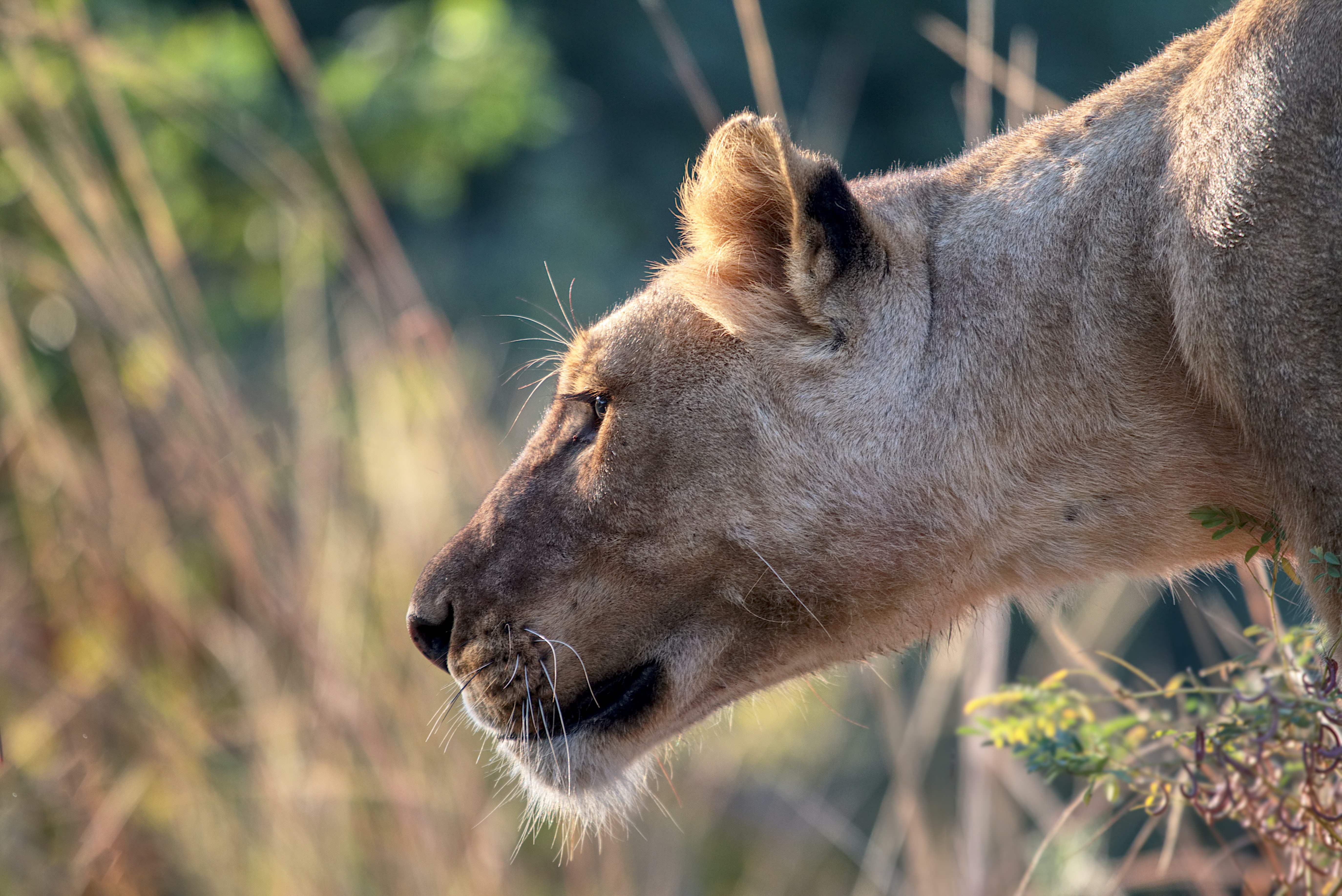 Female lion profile with savanna grass in background, South Luangwa National Park